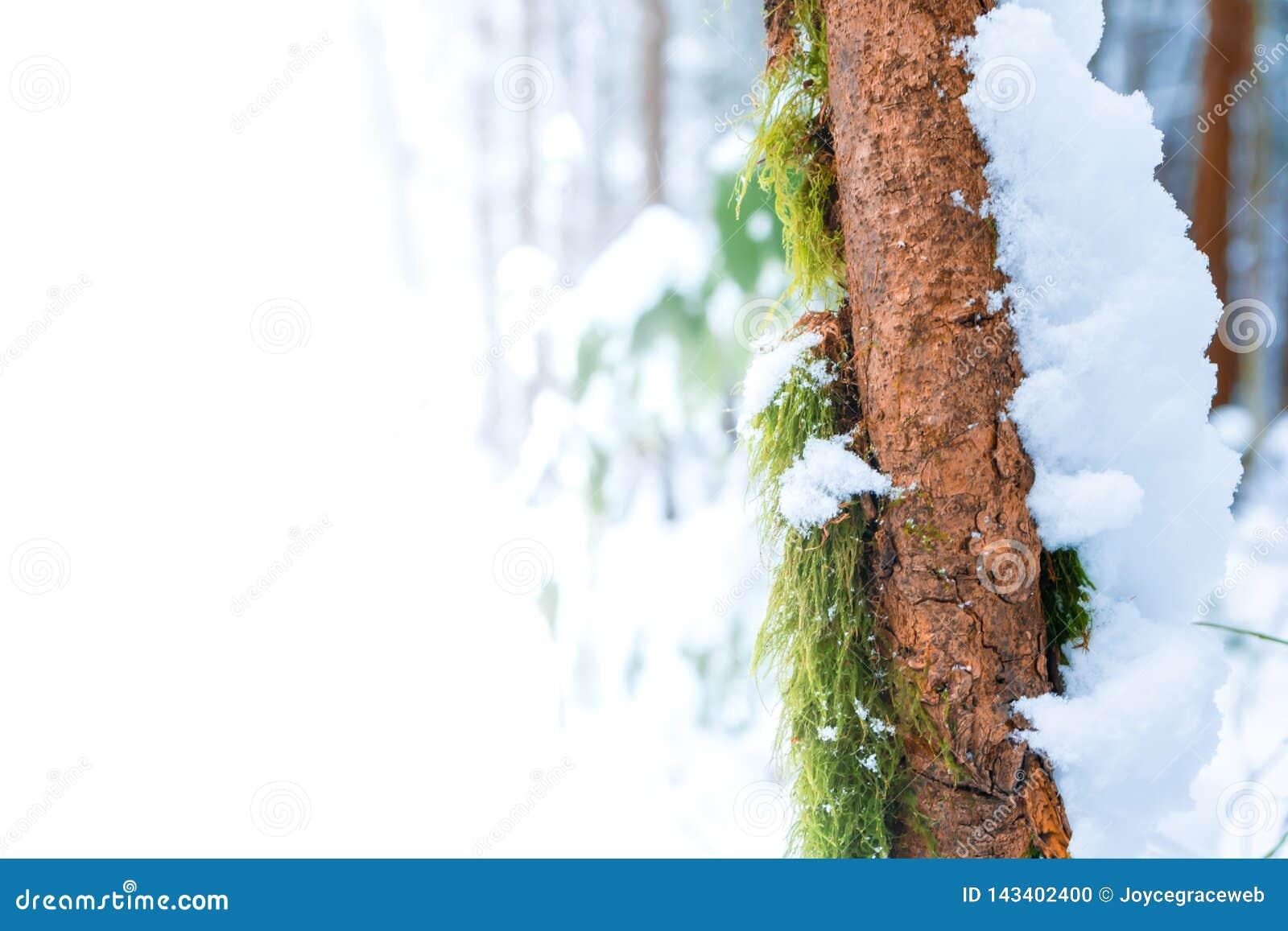 Reklamy przestrzeni kopii przestrzeń na zielonym mech dorośnięciu na chuderlawego brązu drzewnym bagażniku z śnieżną nakrywkową p