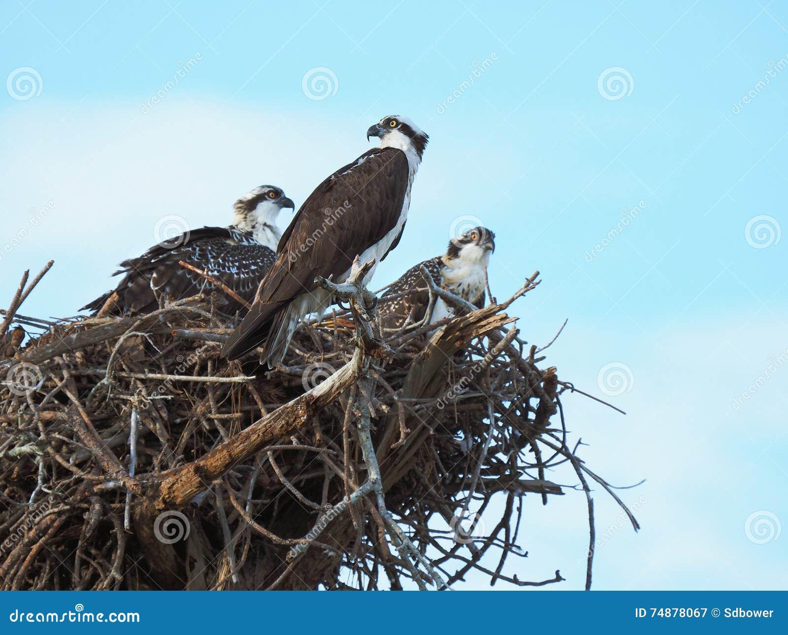 Relógios da águia pescadora da mamãe sobre seu pintainho encadernado de dois ninhos