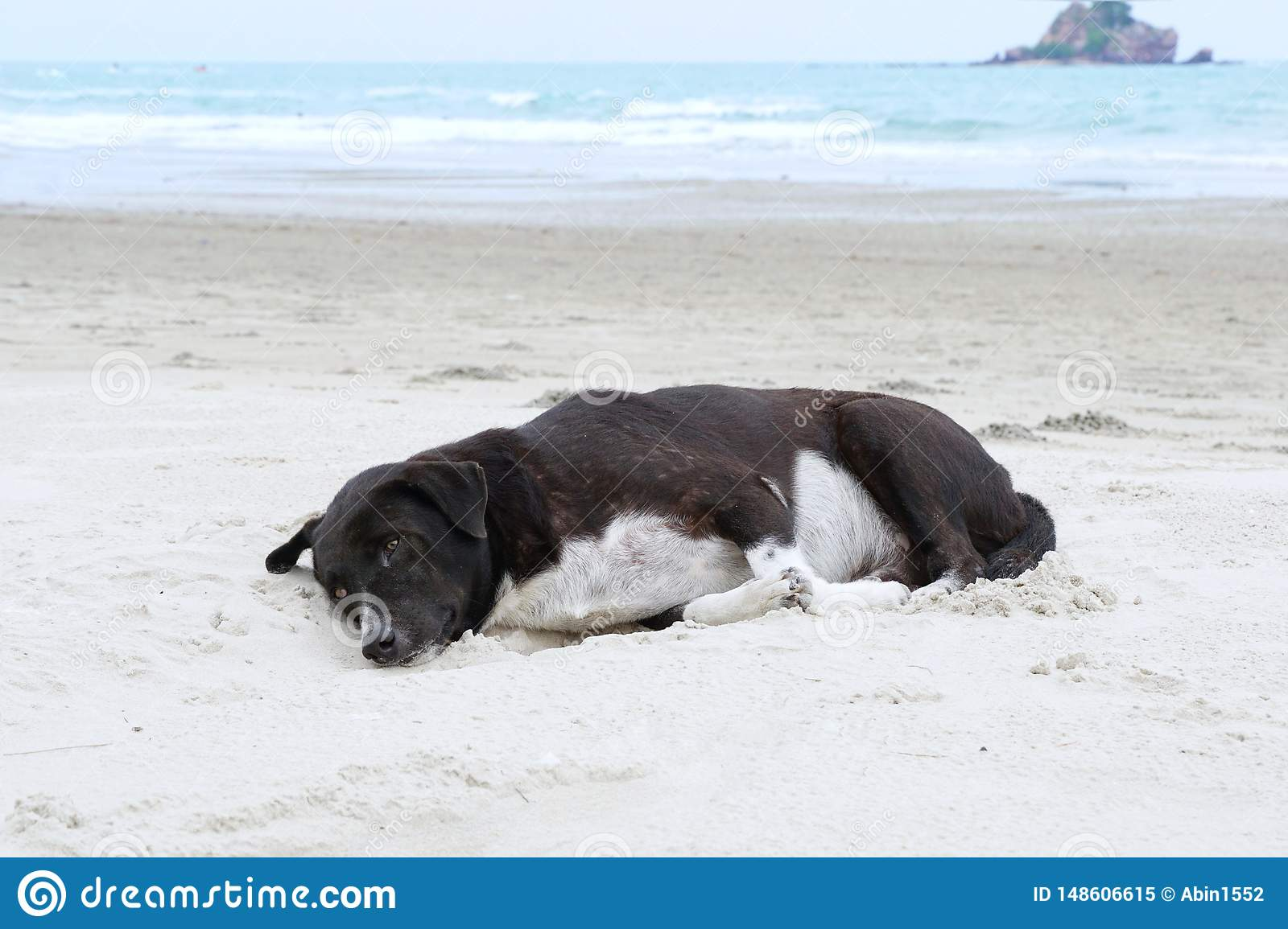 Relaxed dog, Black mixed white dog looking at camera on the sand beach with sea and blue sky as a background