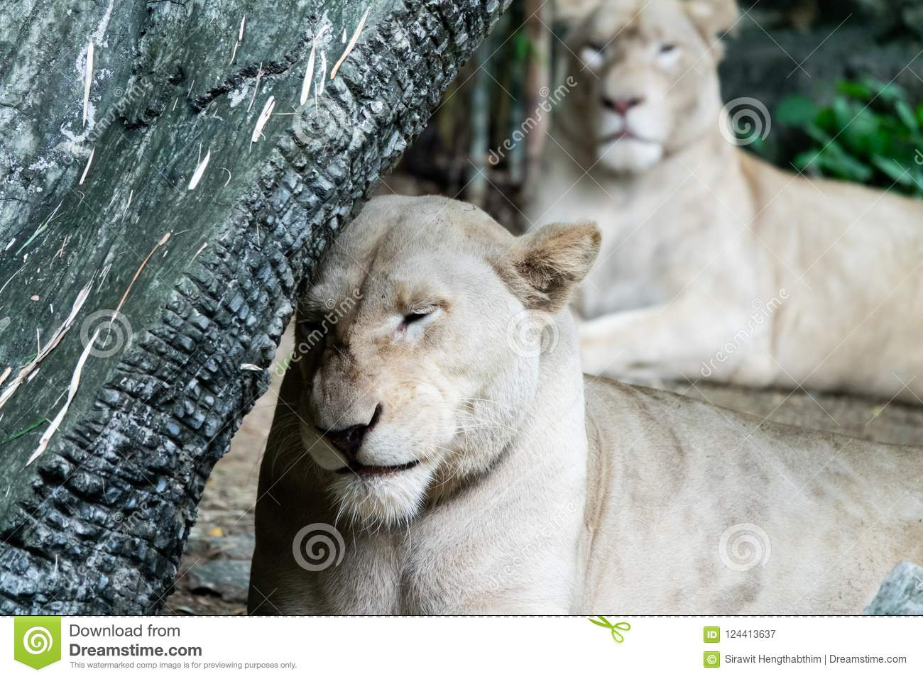 Relaxed female African lion in the zoo