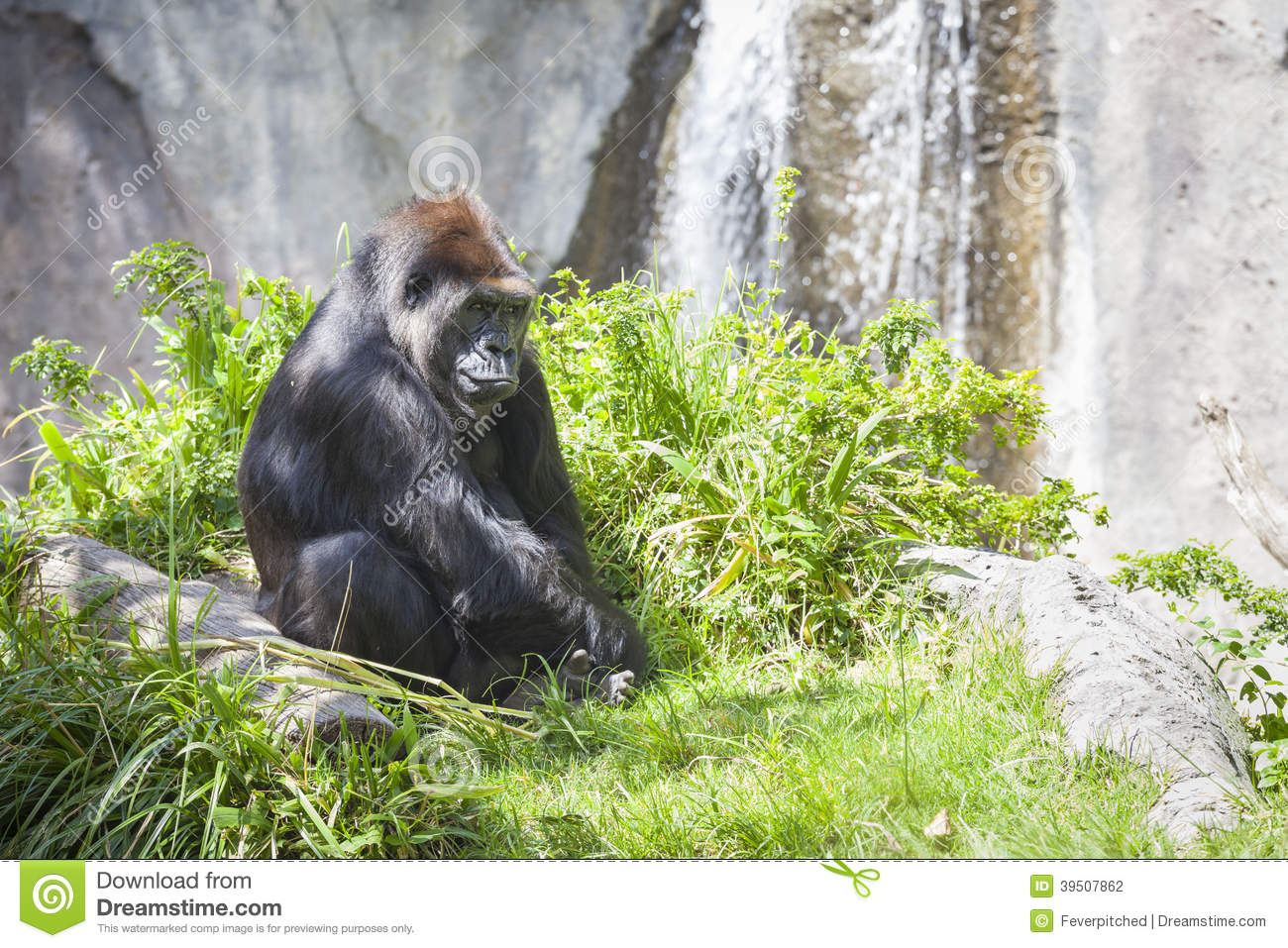 Relaxed Western Lowland Gorilla