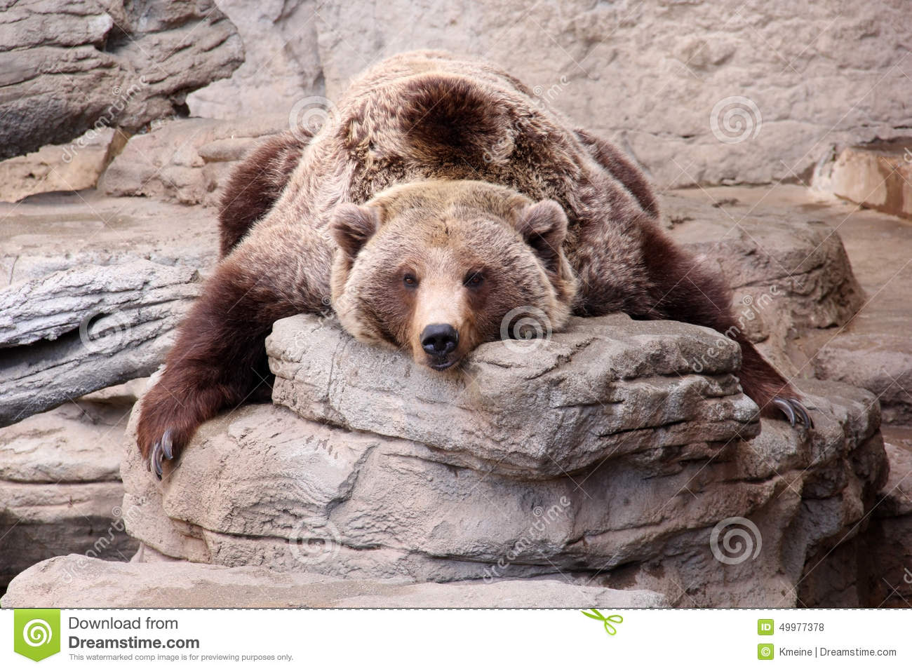 Bear Exhausted Grizzly Peaceful Posing Relaxing Rug Teddy ...