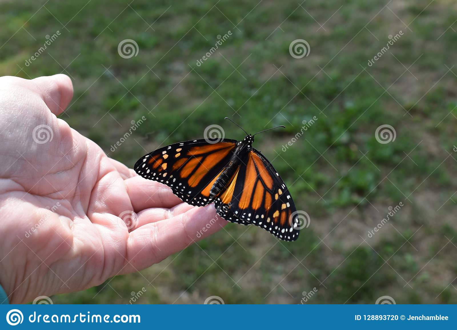 Releasing a newly hatched monarch butterfly