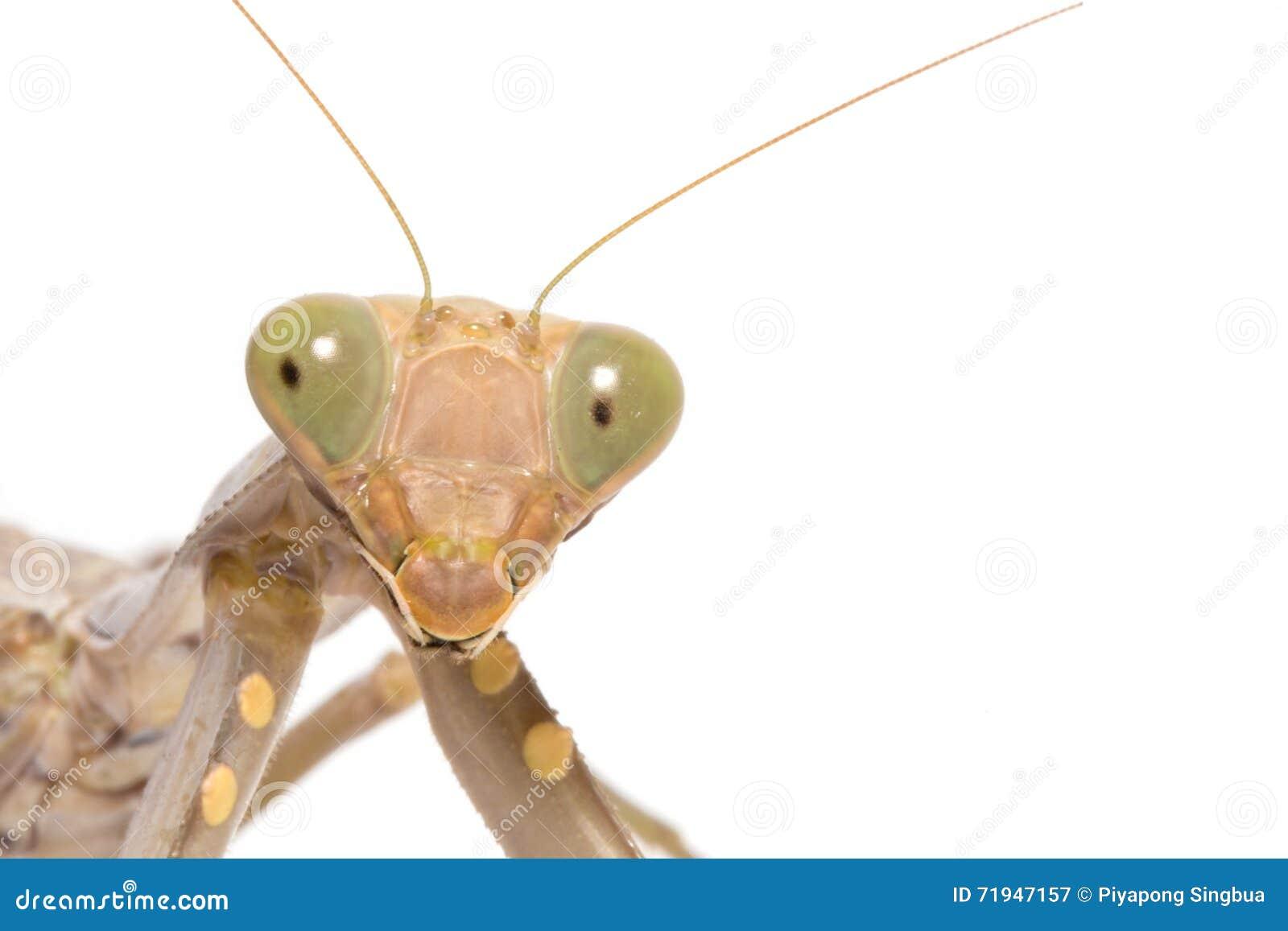 Religiosa mantis моля
