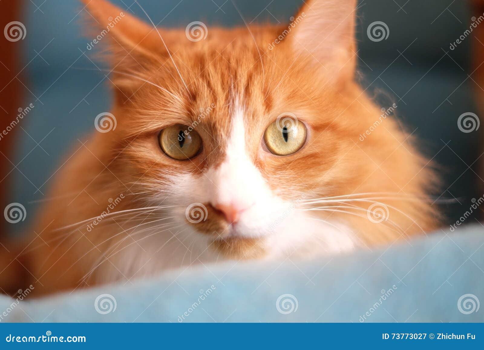 Reloj del gato la lente con curiousness y vigilancia