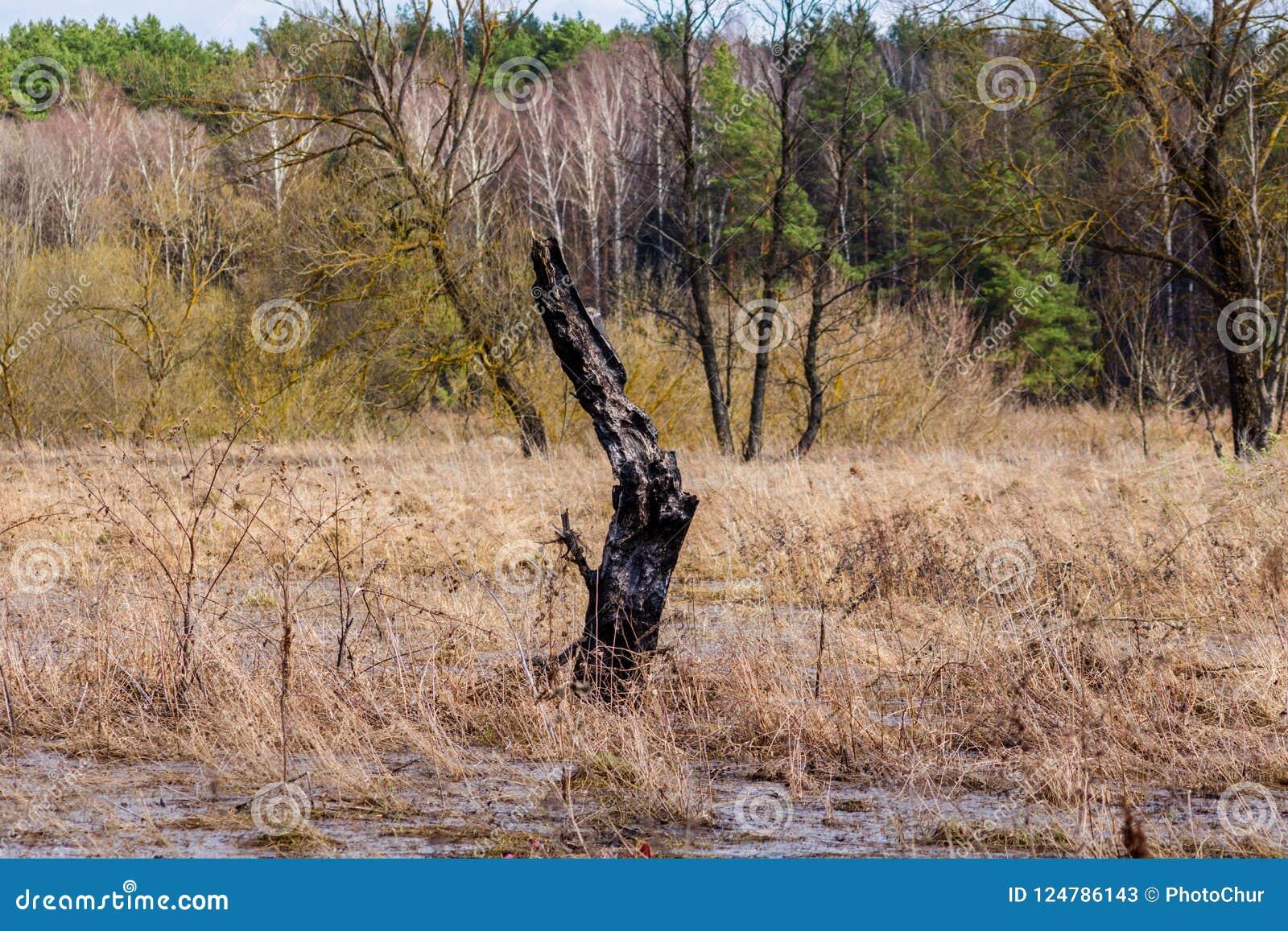 Remainder of burnt wood in wetlands