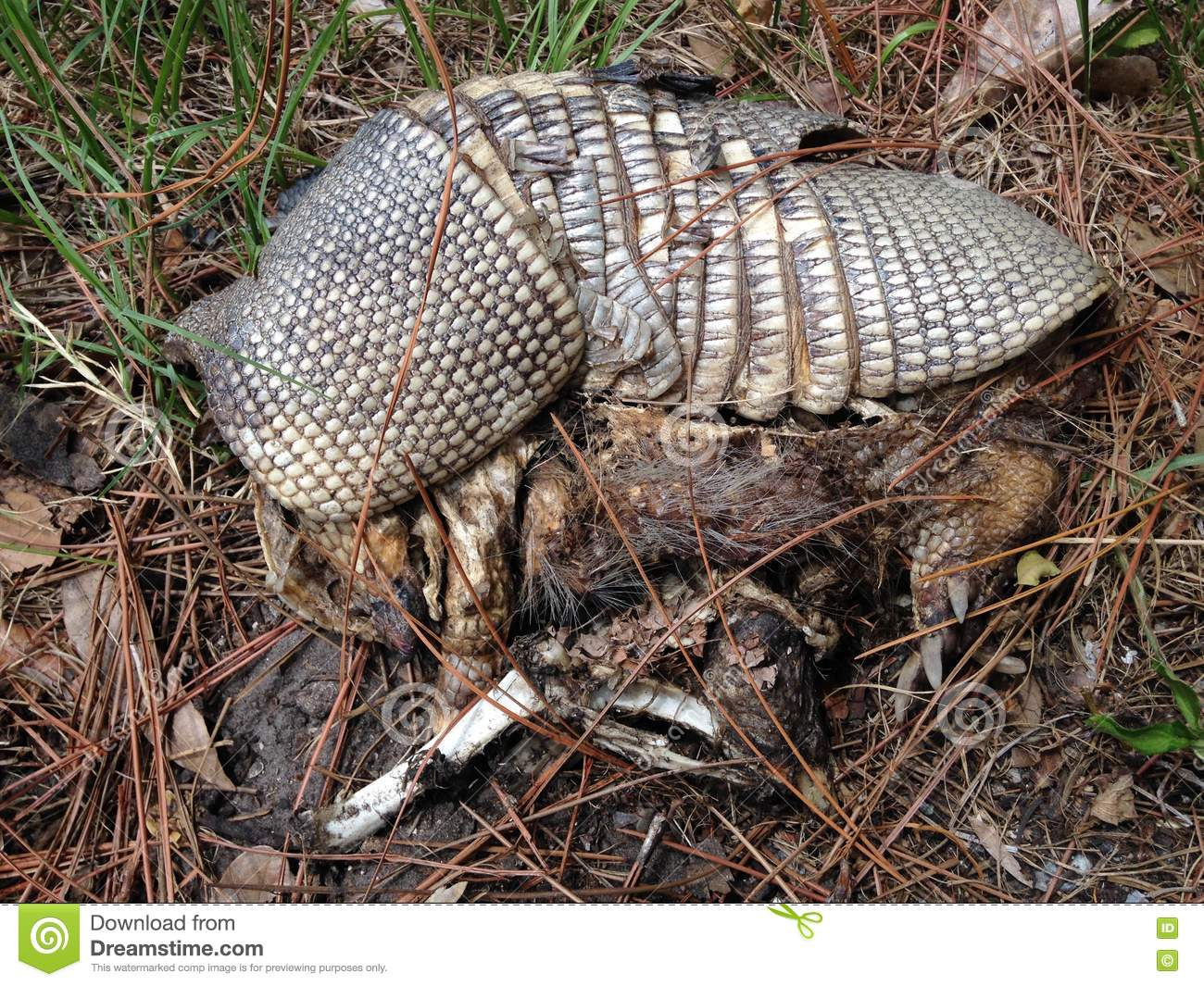 Remains of Nine-banded Armadillo (Dasypus Novemcinctus) Lying on Ground.