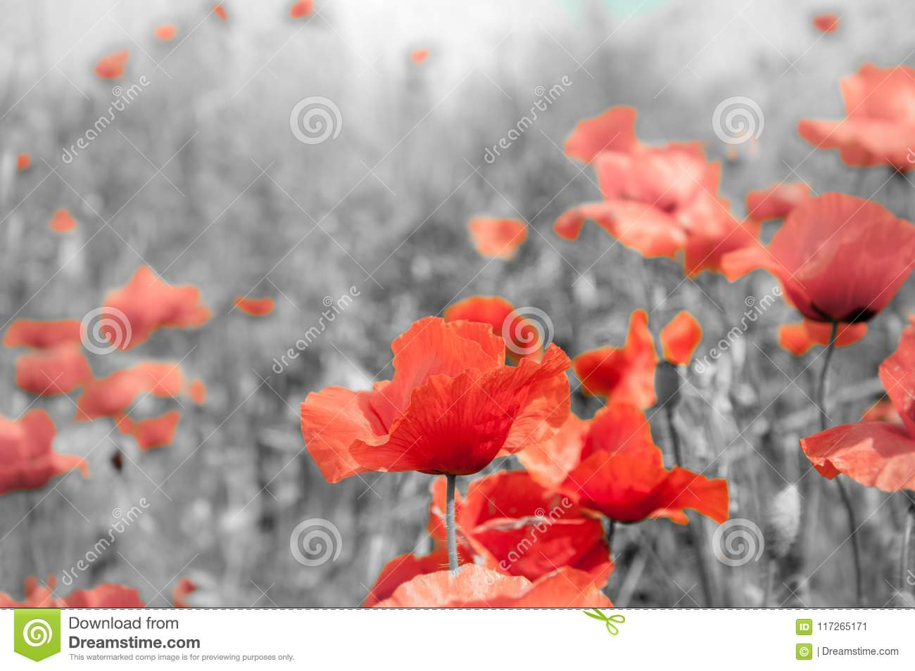 Remembrance Poppy Stock Image Image Of Black 28th 117265171