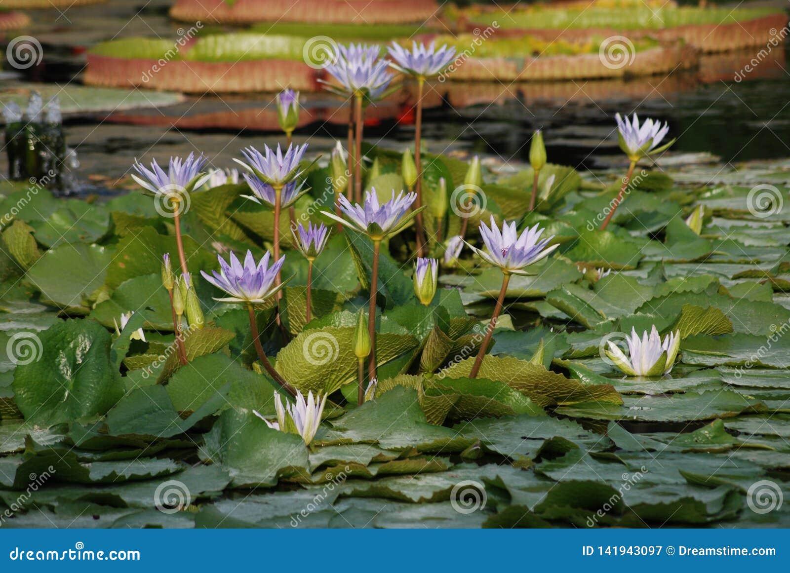 Remendo de lírios de água lilás na lagoa - Nmyhaea Nouchali