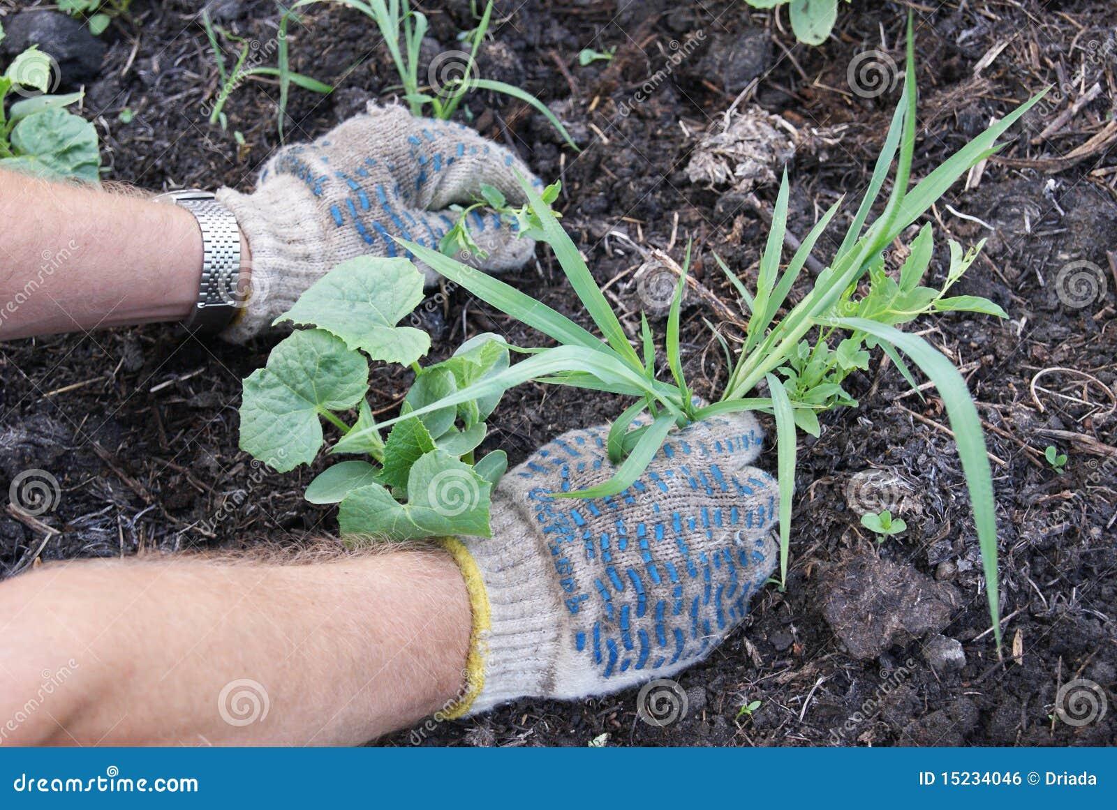 Remoção de ervas daninhas das ervas daninhas