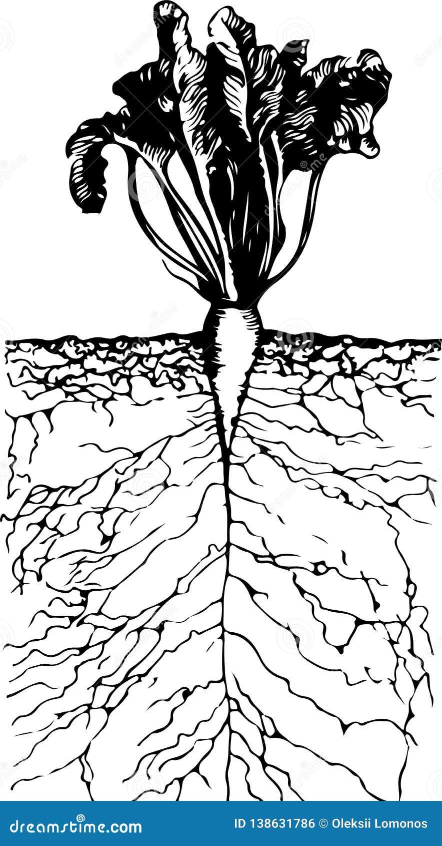 Remolachas crecientes hermosas con las raíces en la tierra dentro de la visión