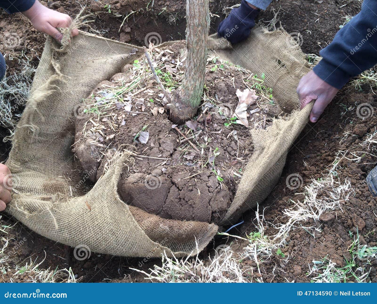 Removendo o envoltório de serapilheira em torno da árvore recentemente plantada
