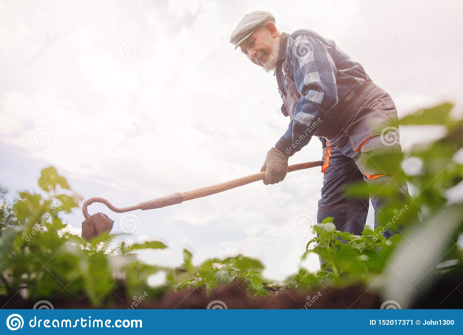 Removing weeds from soil of potatoes, Senior elderly man wielding hoe in vegetable garden