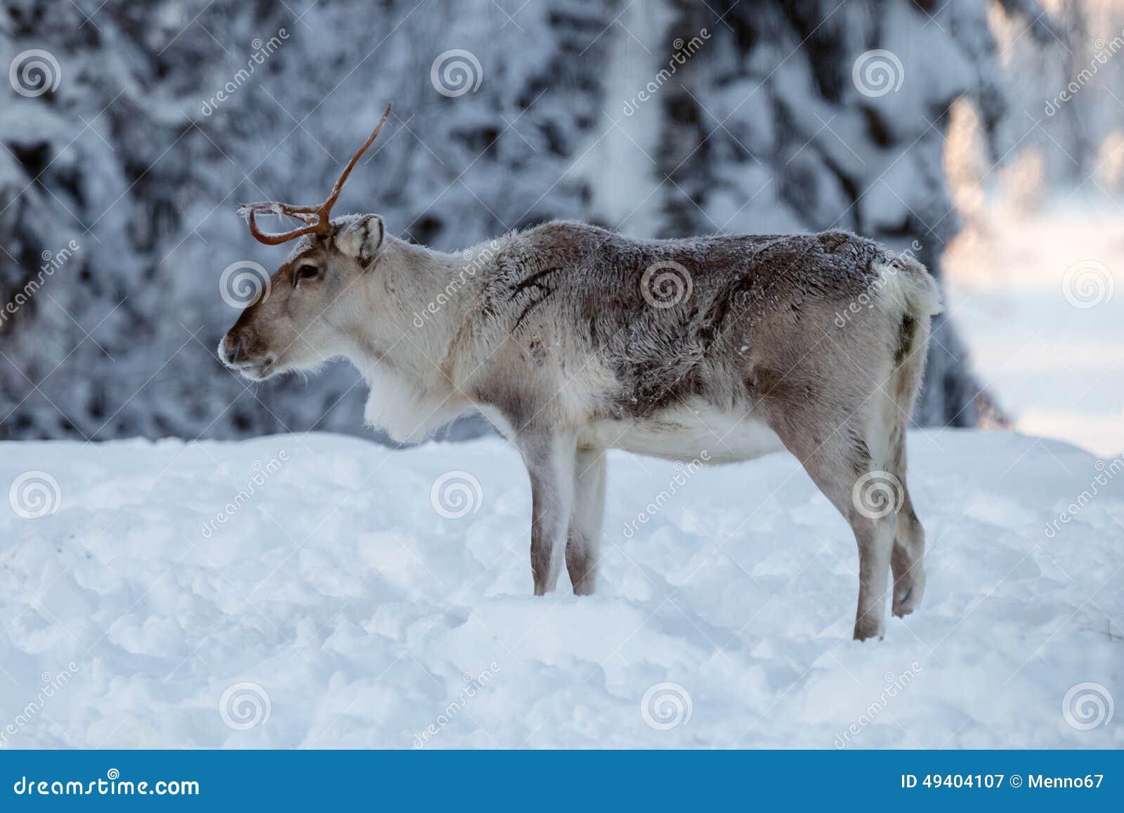 Download Ren im Schnee stockbild. Bild von himmel, hintergrund - 49404107