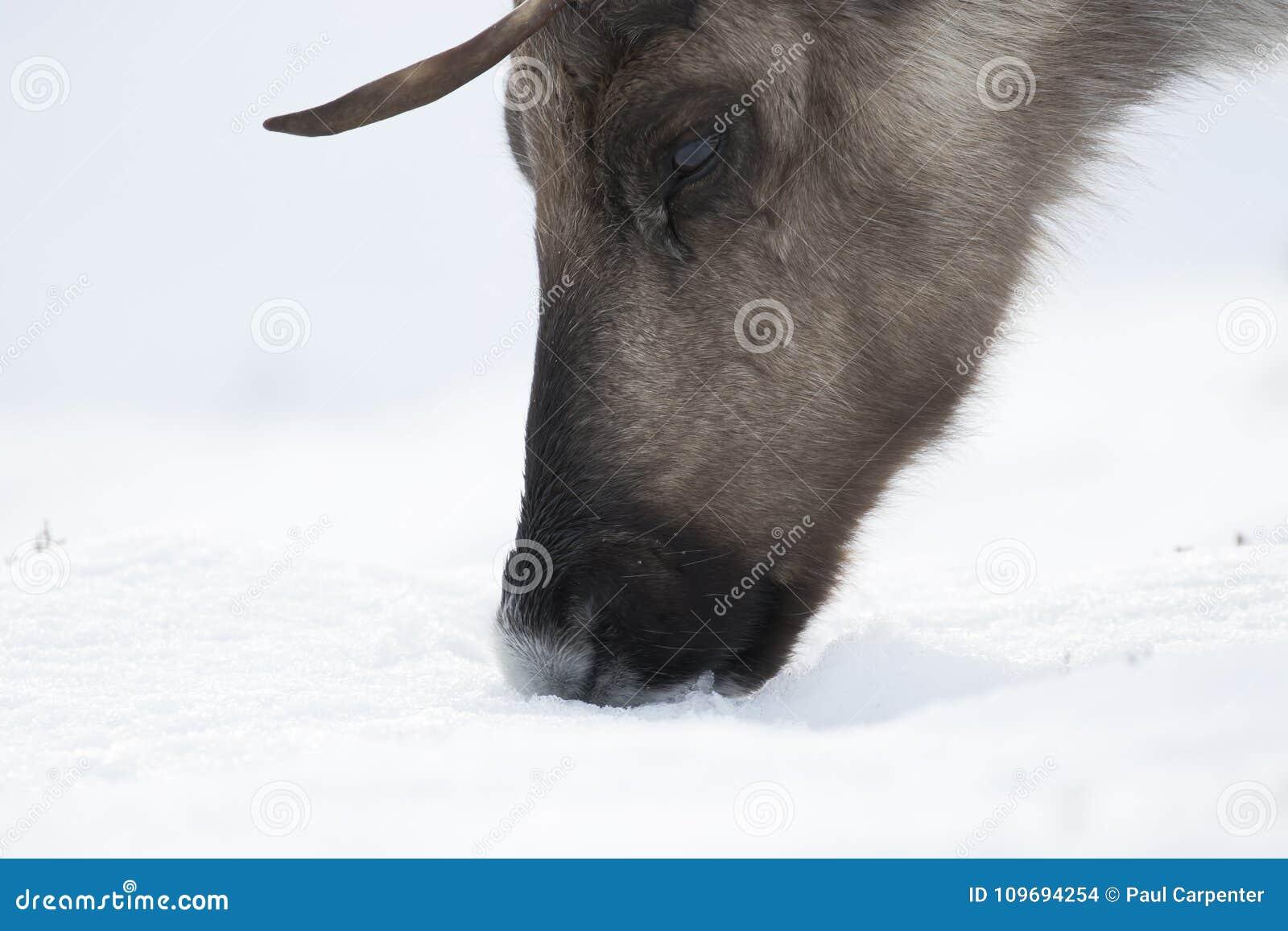 Ren Rangifertarandus och att beta som söker efter föda i snön på en blåsig kall vinterdag på en kulle i röktopasnationalparken,