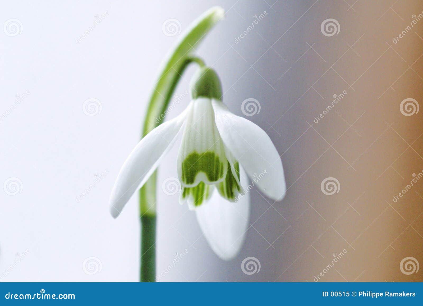 Ren white för blomma