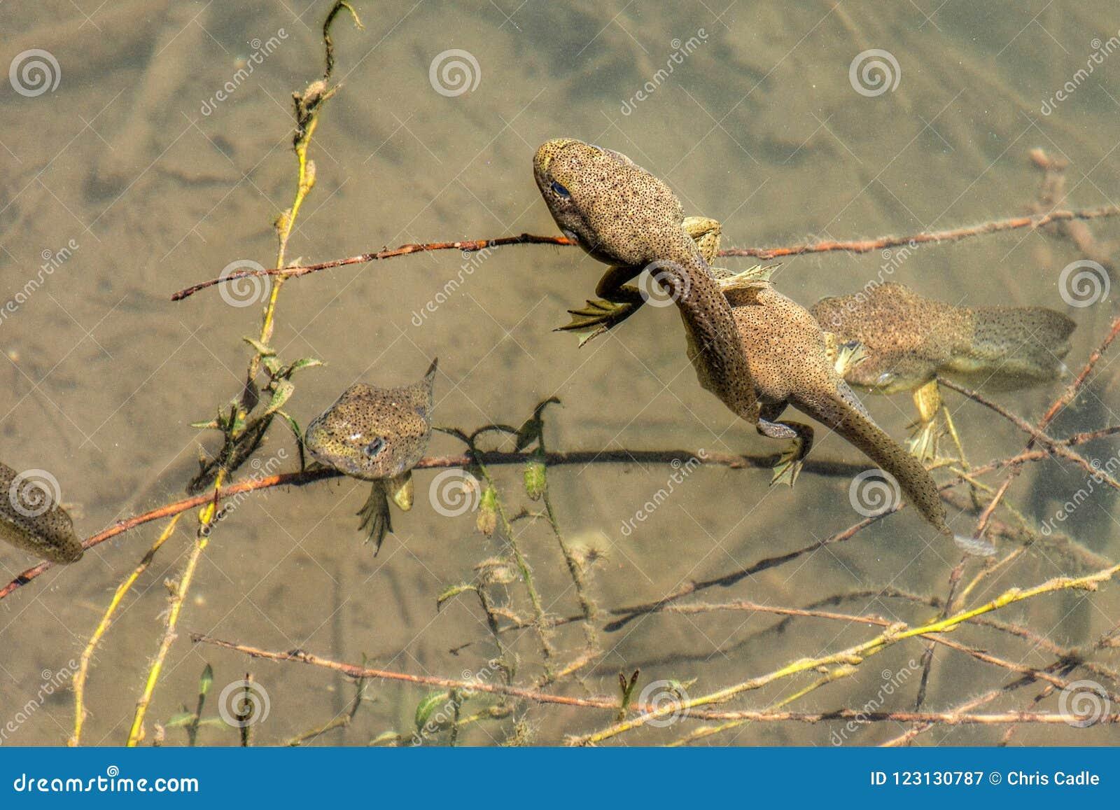 Renacuajos de la rana mugidora