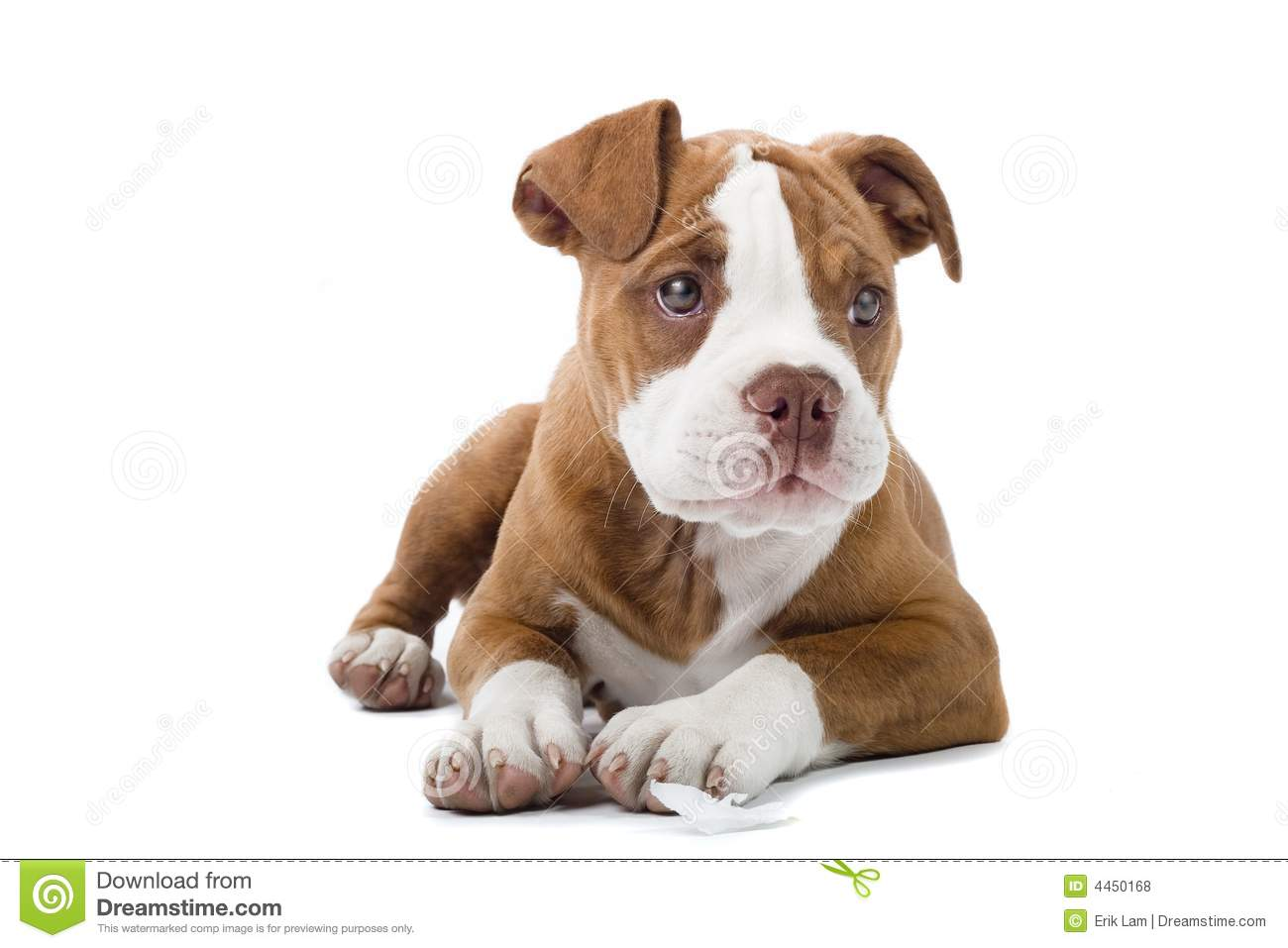 renasance bulldog renaissance bulldog stock photo image of puppie domestic 1140