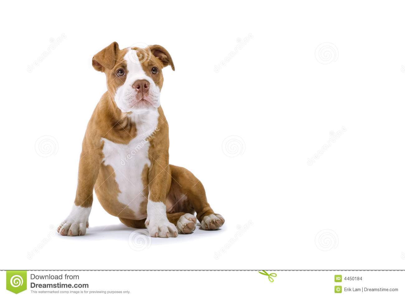 renasance bulldog renaissance bulldog stock photo image of puppie mammal 7975