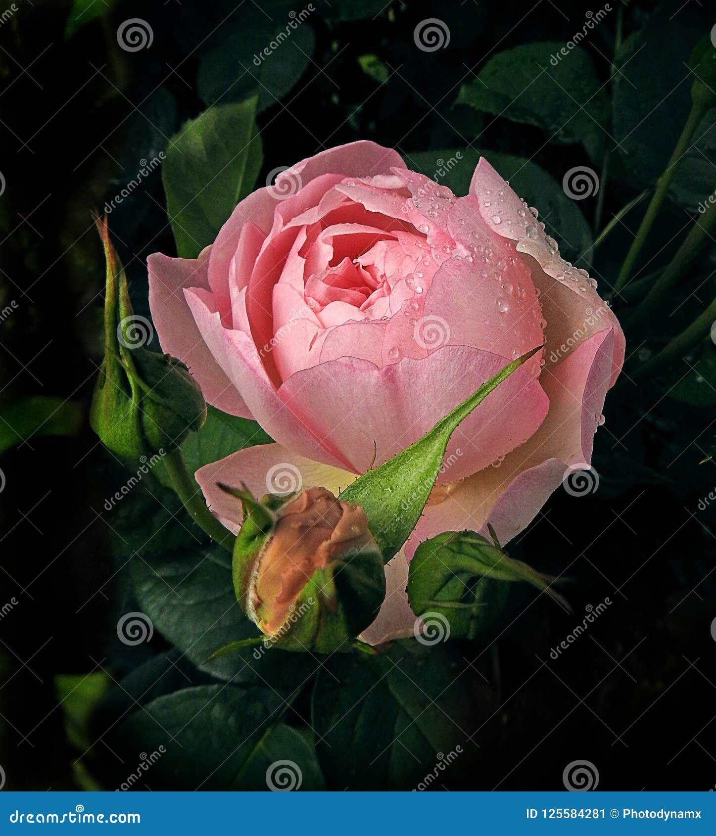 Renaissance peony rose after the rainfall