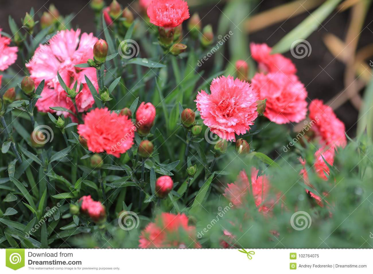 Carnation Stock Image Image Of Personified Rome Maternal 102764075