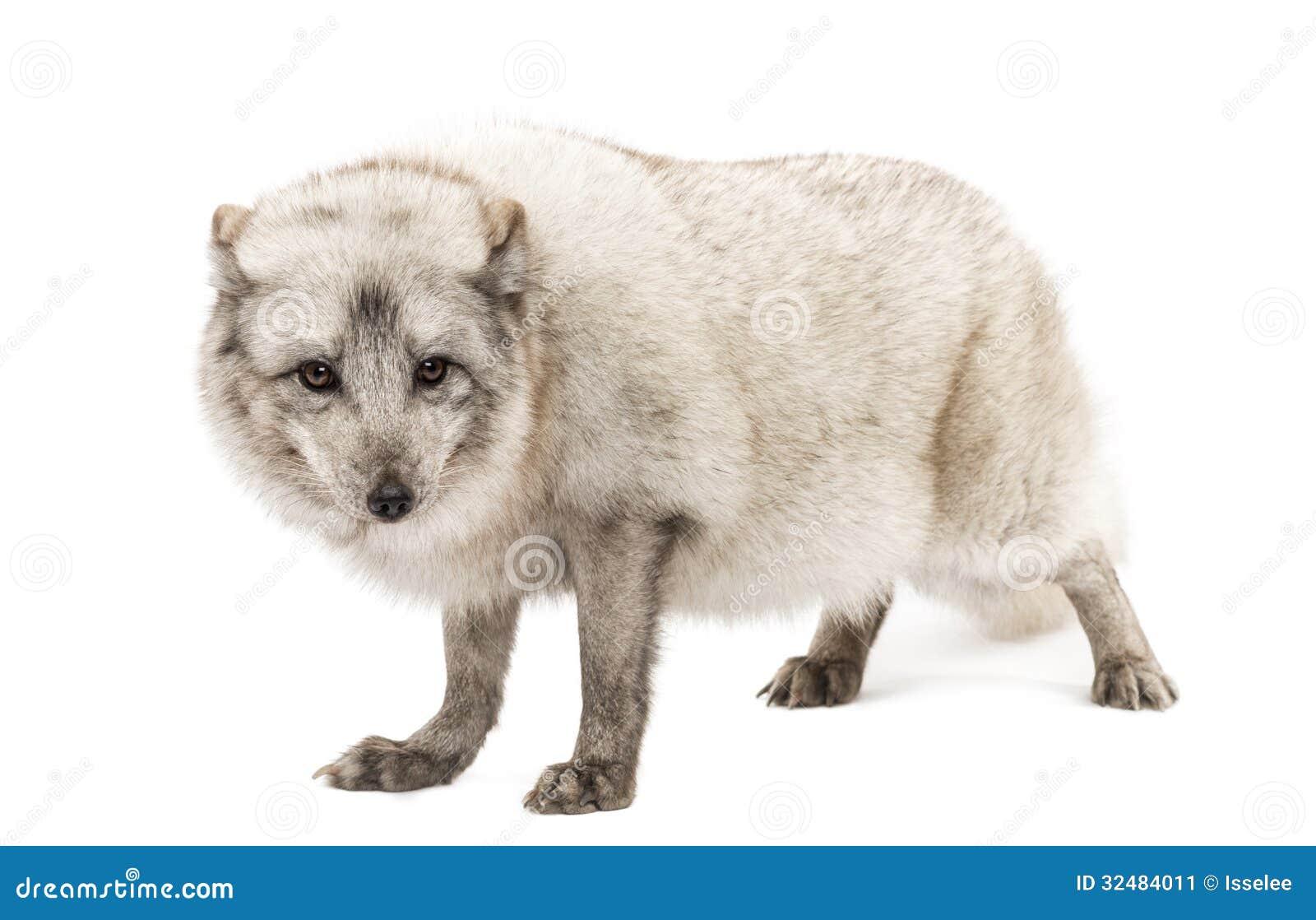 Renard arctique, lagopus de Vulpes, d isolement sur le blanc