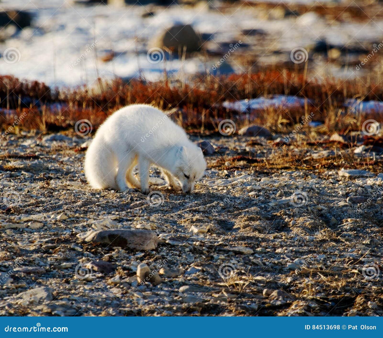 Renard arctique sur le terrain de toundra cherchant le bon