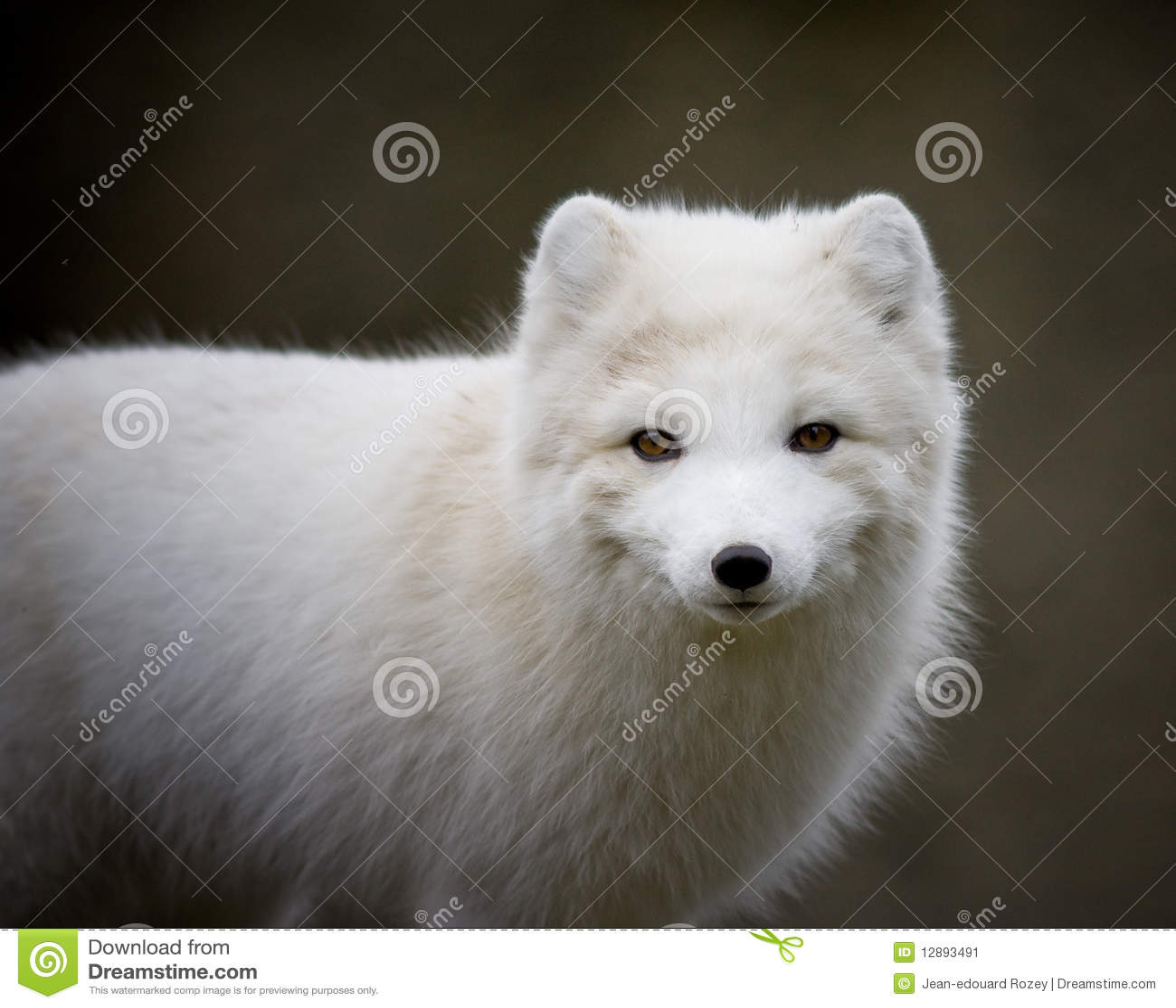 Renard Artic