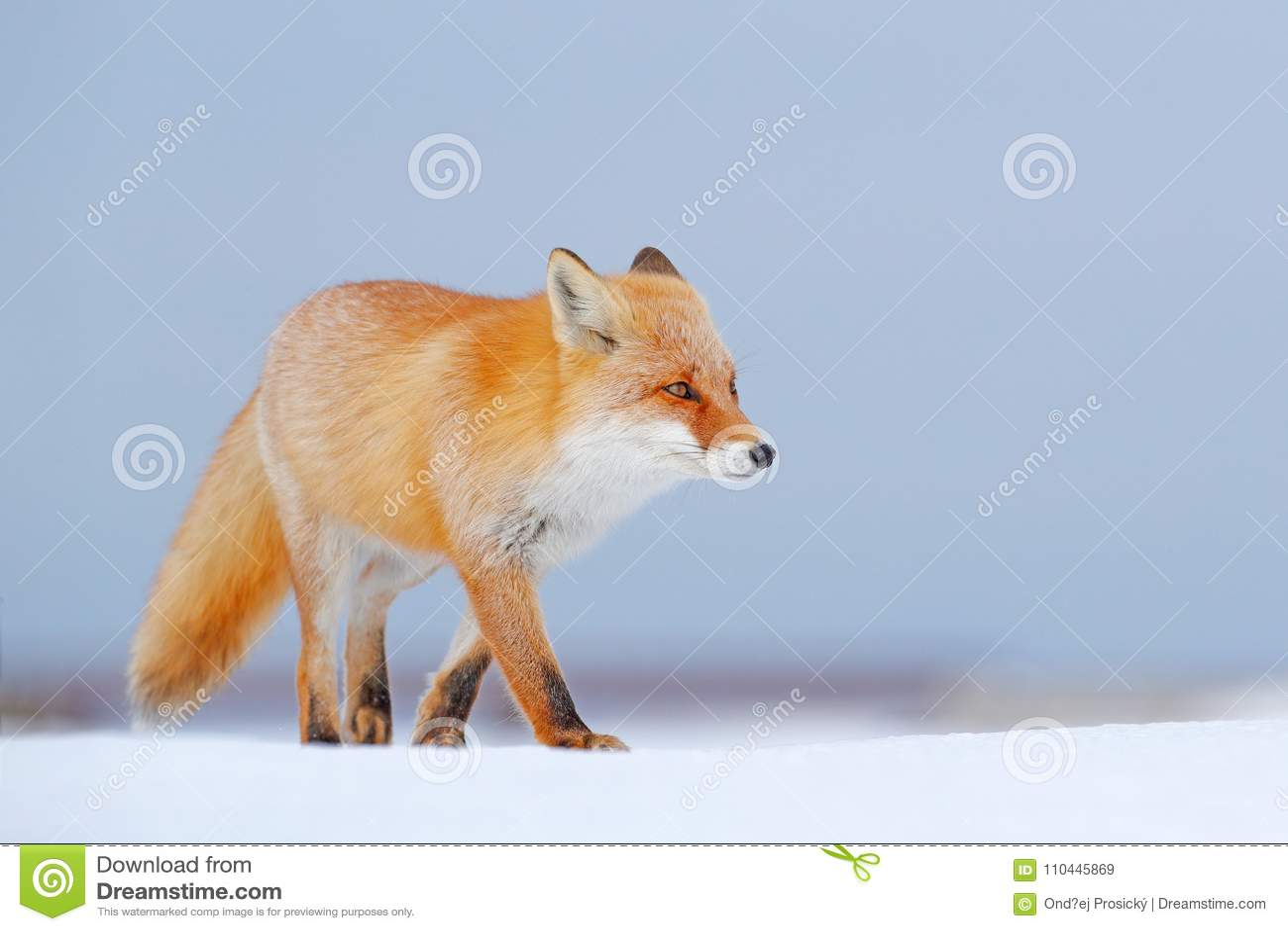Renard rouge dans la neige blanche Hiver froid avec le renard orange de fourrure Animal de chasse dans le pré neigeux, Japon Beau