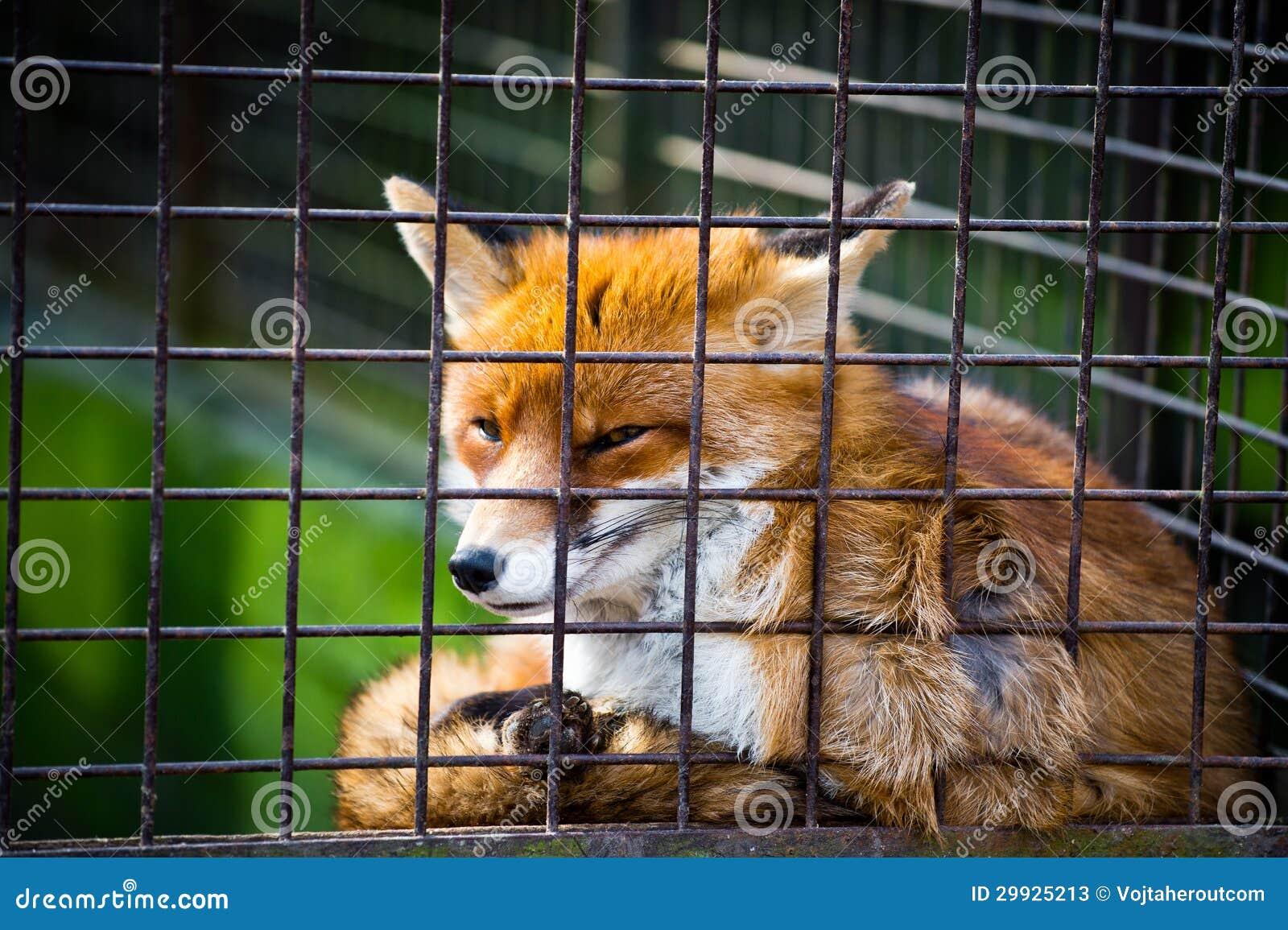 Renard rouge mignon dans la cage image stock image du - Renard mignon ...