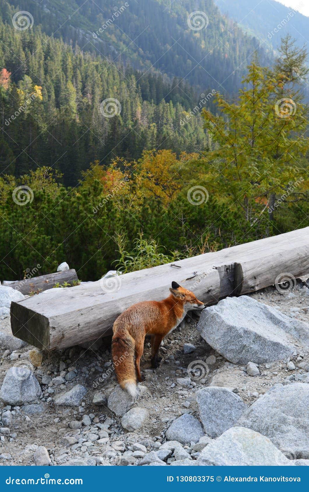 Renard rouge non effrayé des personnes sur le sentier de randonnée dans haut Tatras, Slovaquie