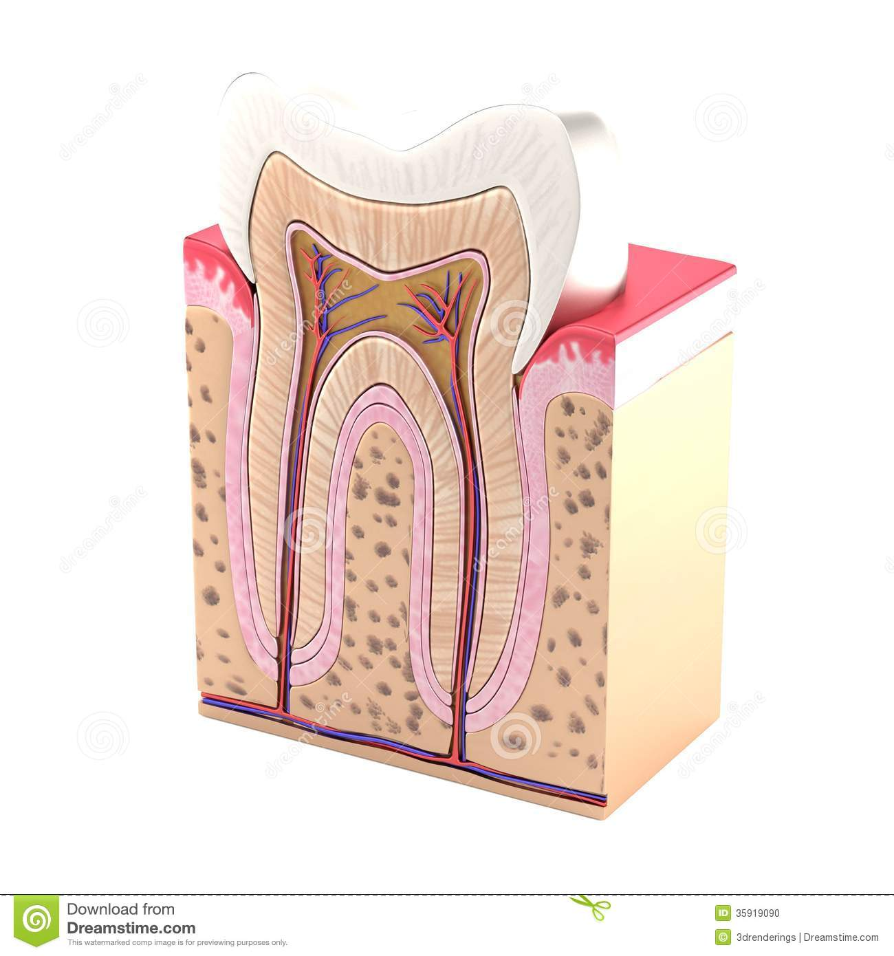 Render of tooth anatomy stock illustration. Illustration of tooth ...