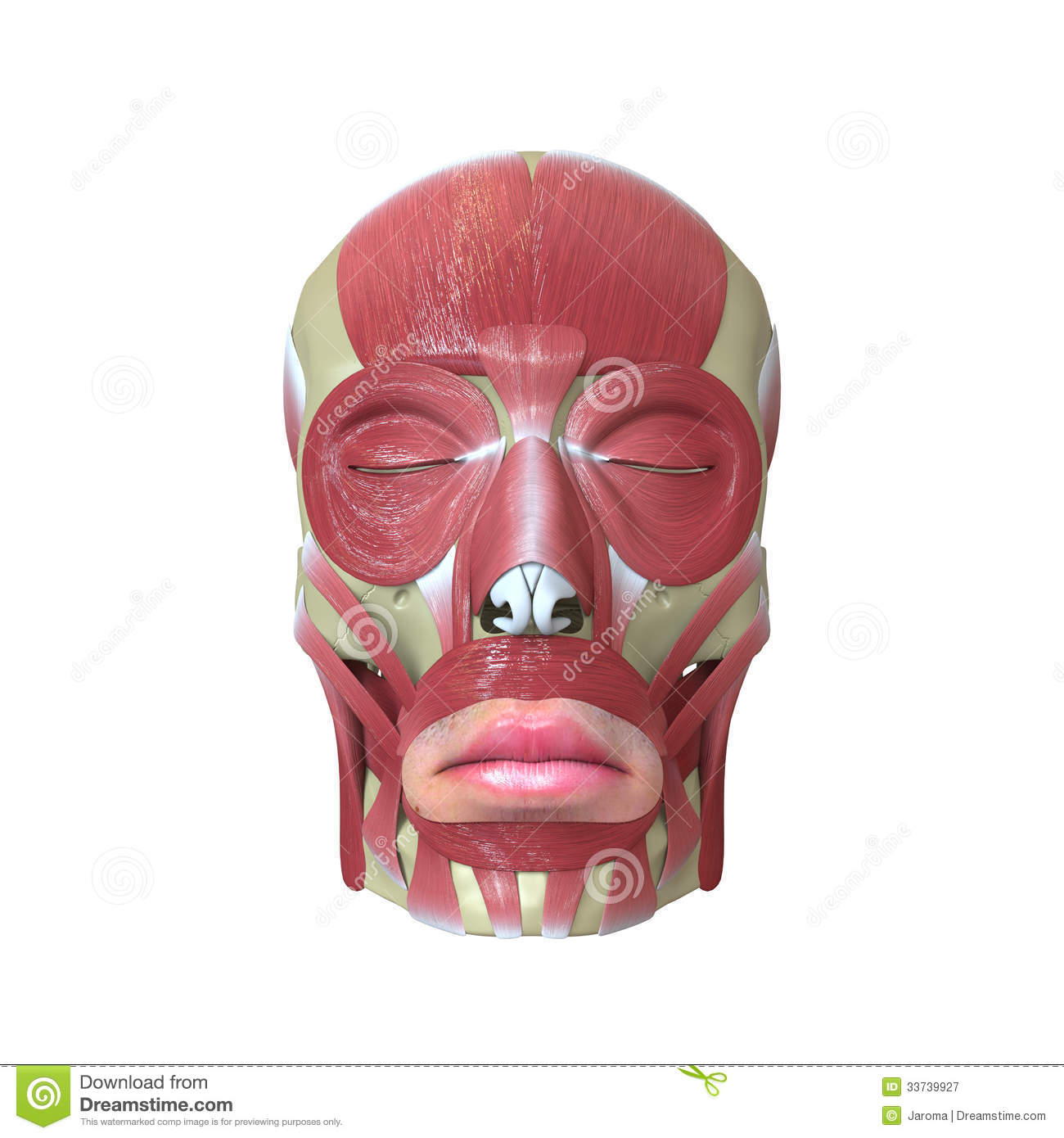 Anemone moreover Rendered Human Skull Muscles White Background moreover Over Exercising additionally Mei Xiao Skin Condition likewise Humantorch Mu. on muscles all over body