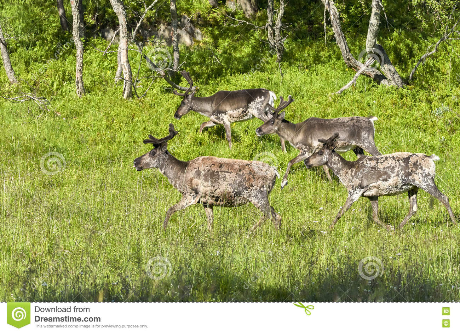 Renifery w naturalnym środowisku, Roros region