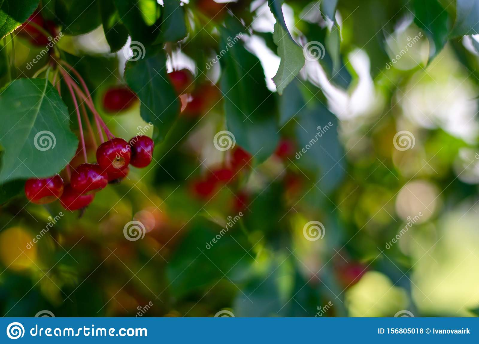 Rennet tree. red ripe apples on a branch Apple tree Small apple