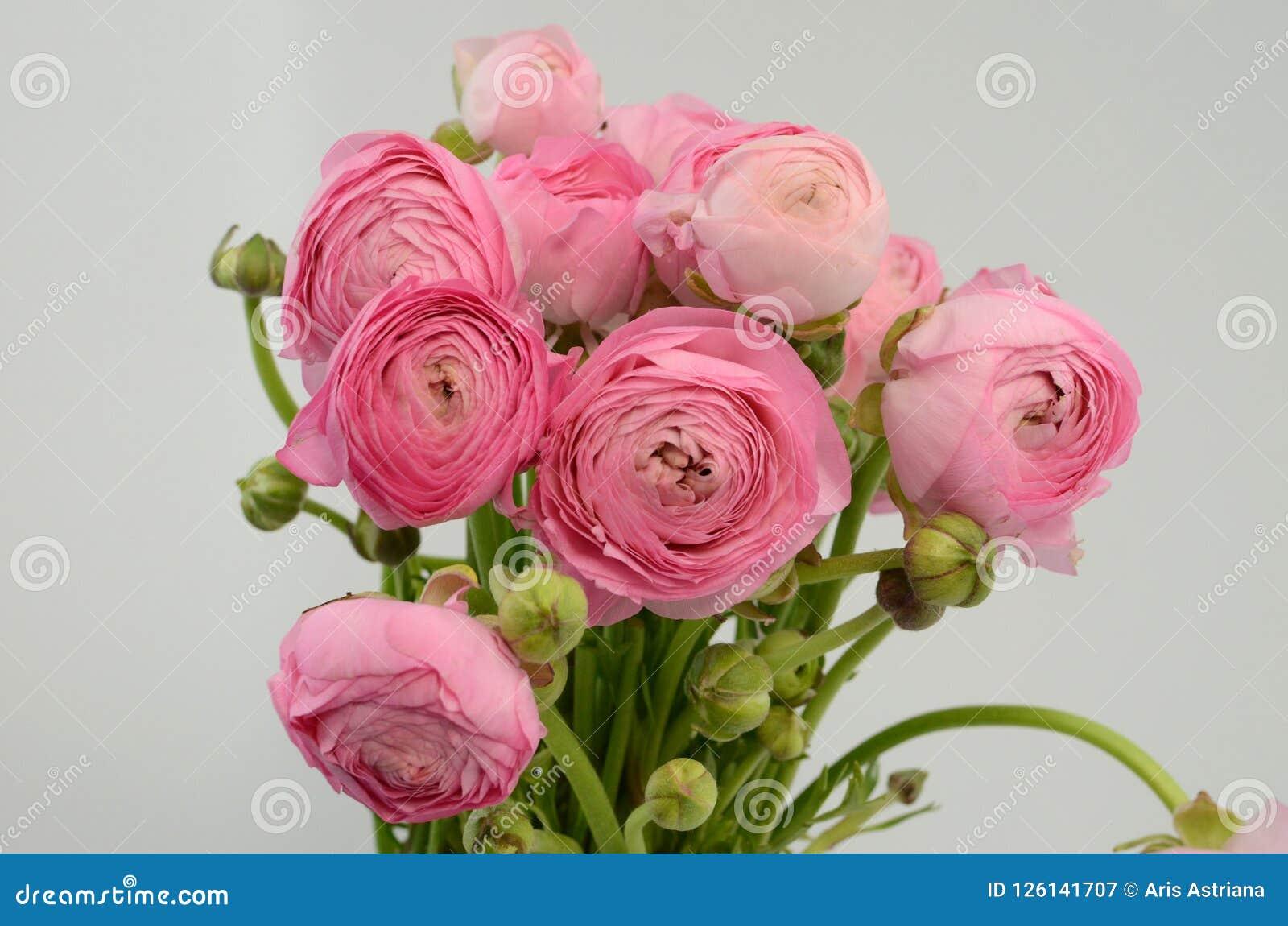 Renoncule persane Groupe pâle - le ranunculus rose fleurit le fond clair