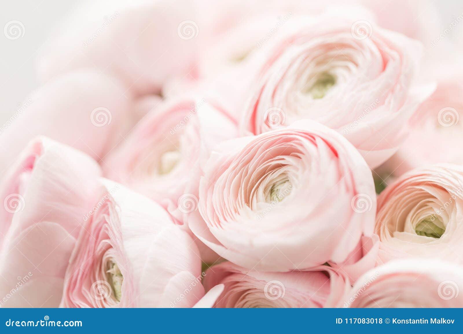Renoncule persane Groupe pâle - le ranunculus rose fleurit le fond clair papier peint, photo horizontale