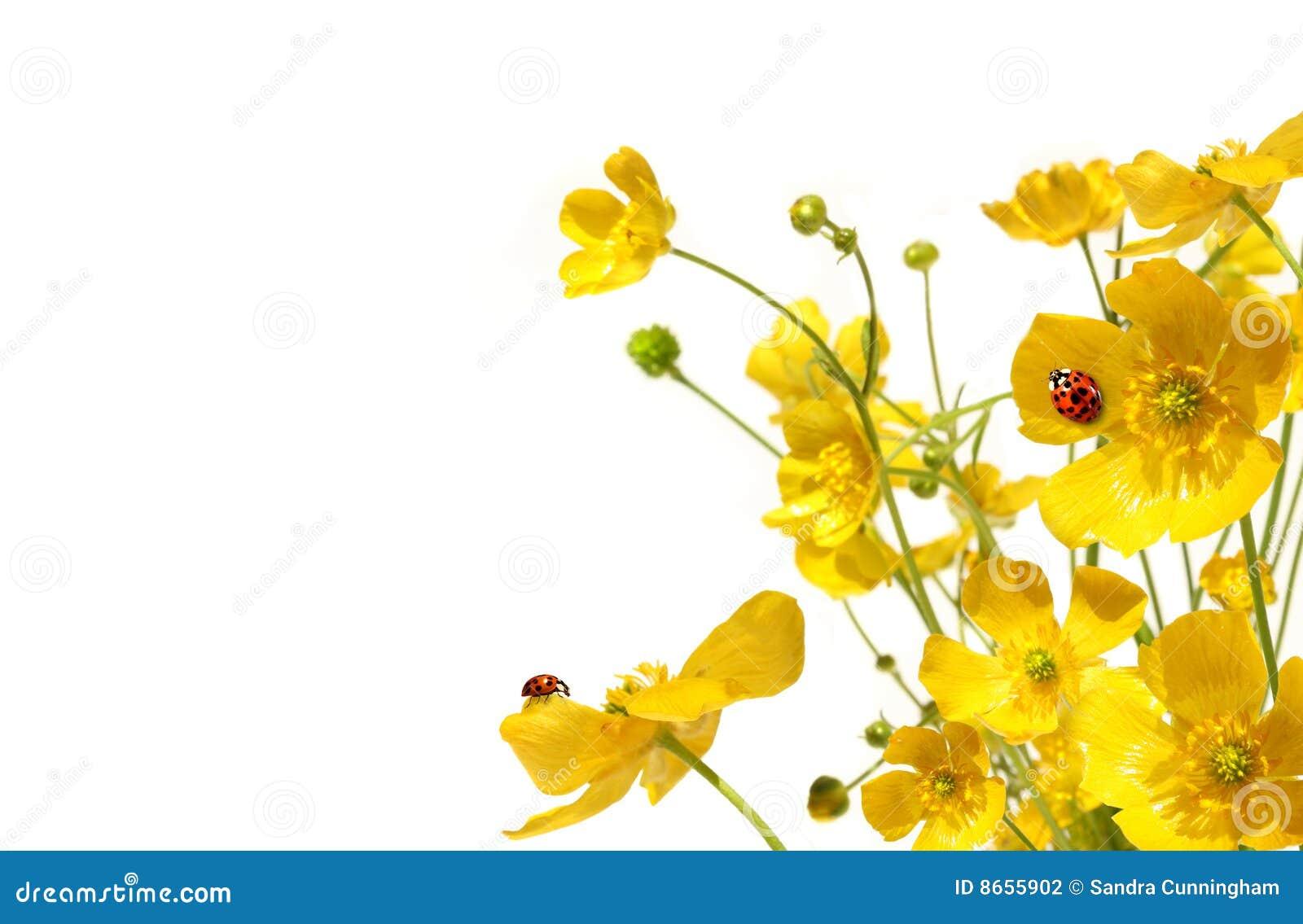 Renoncules jaunes avec la coccinelle sur le blanc