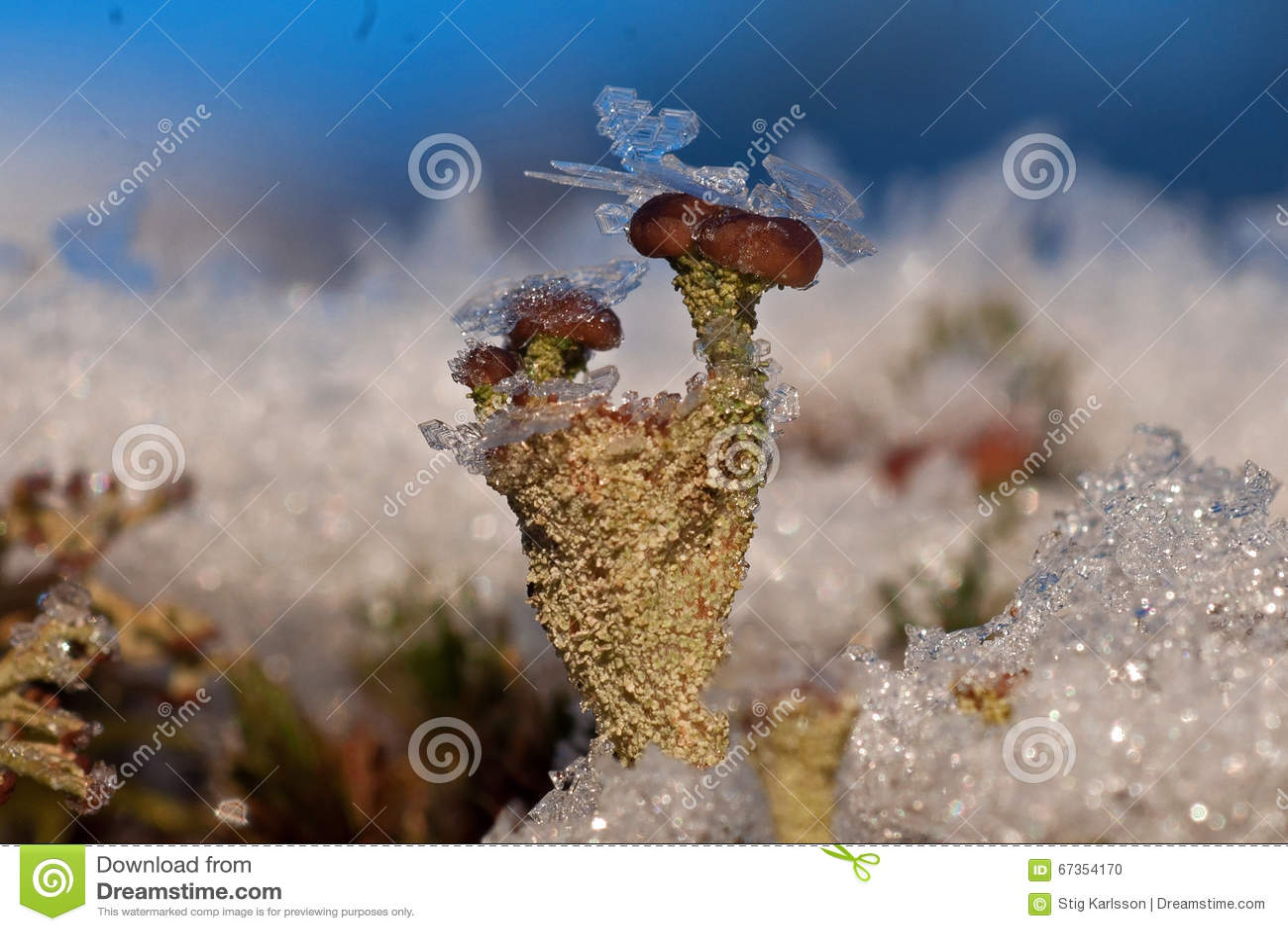 Rentierflechte bedeckt mit Eiskristallen während des Winters