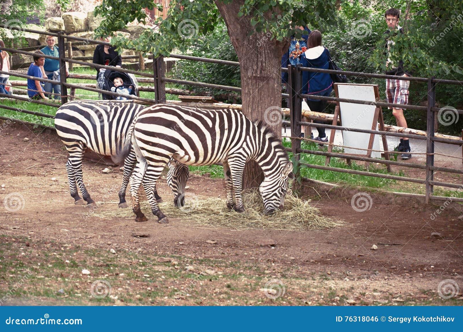 República checa praga Jardim zoológico de Praga Zebras 12 de junho de 2016