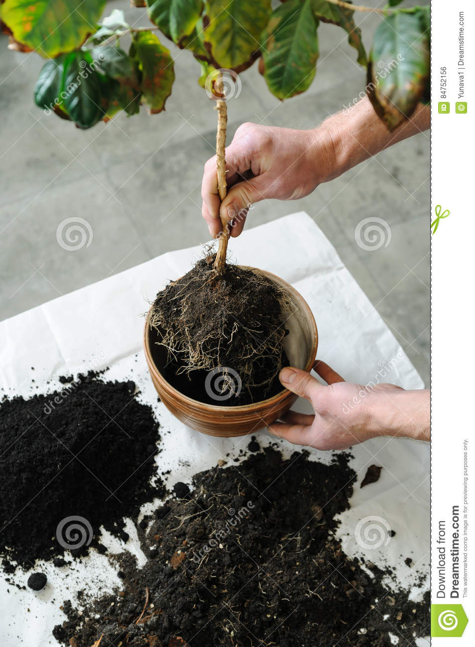 Replanting av houseplanten
