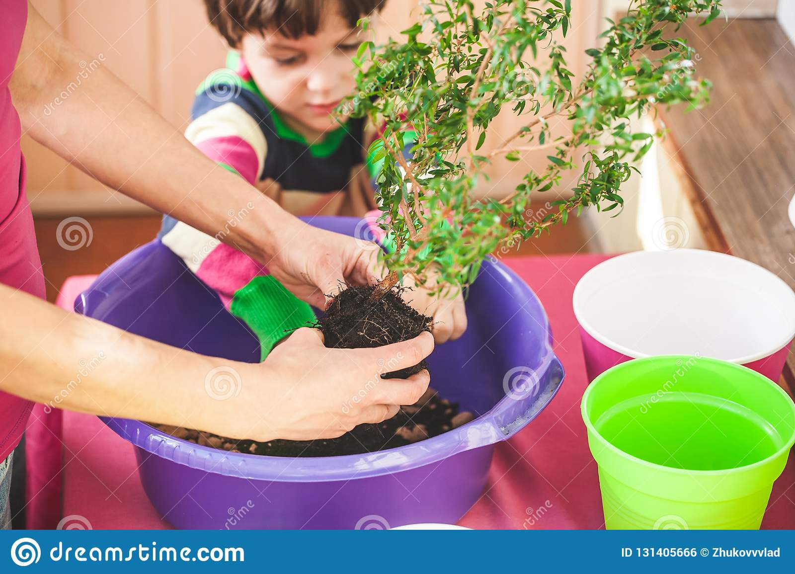 Replanting Home Flowers  The Boy Helps His Mother To Plant