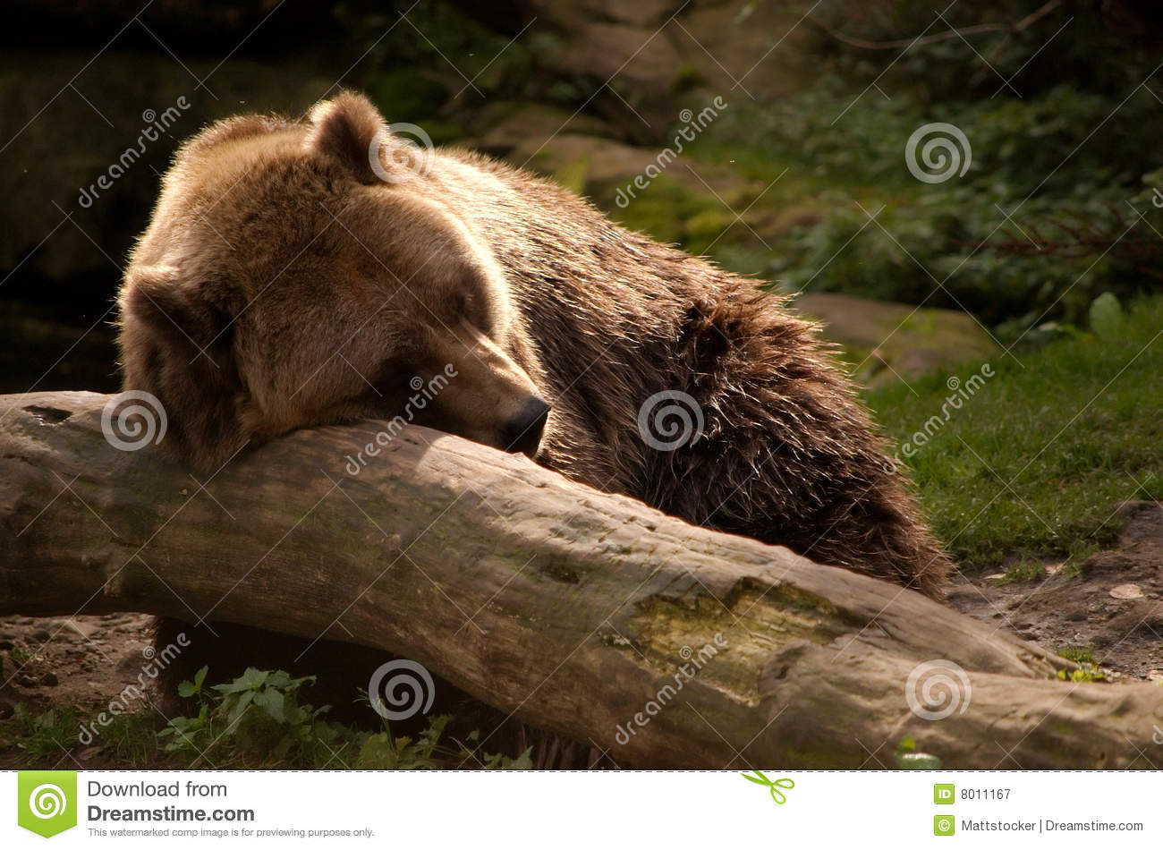 Repos d ours gris