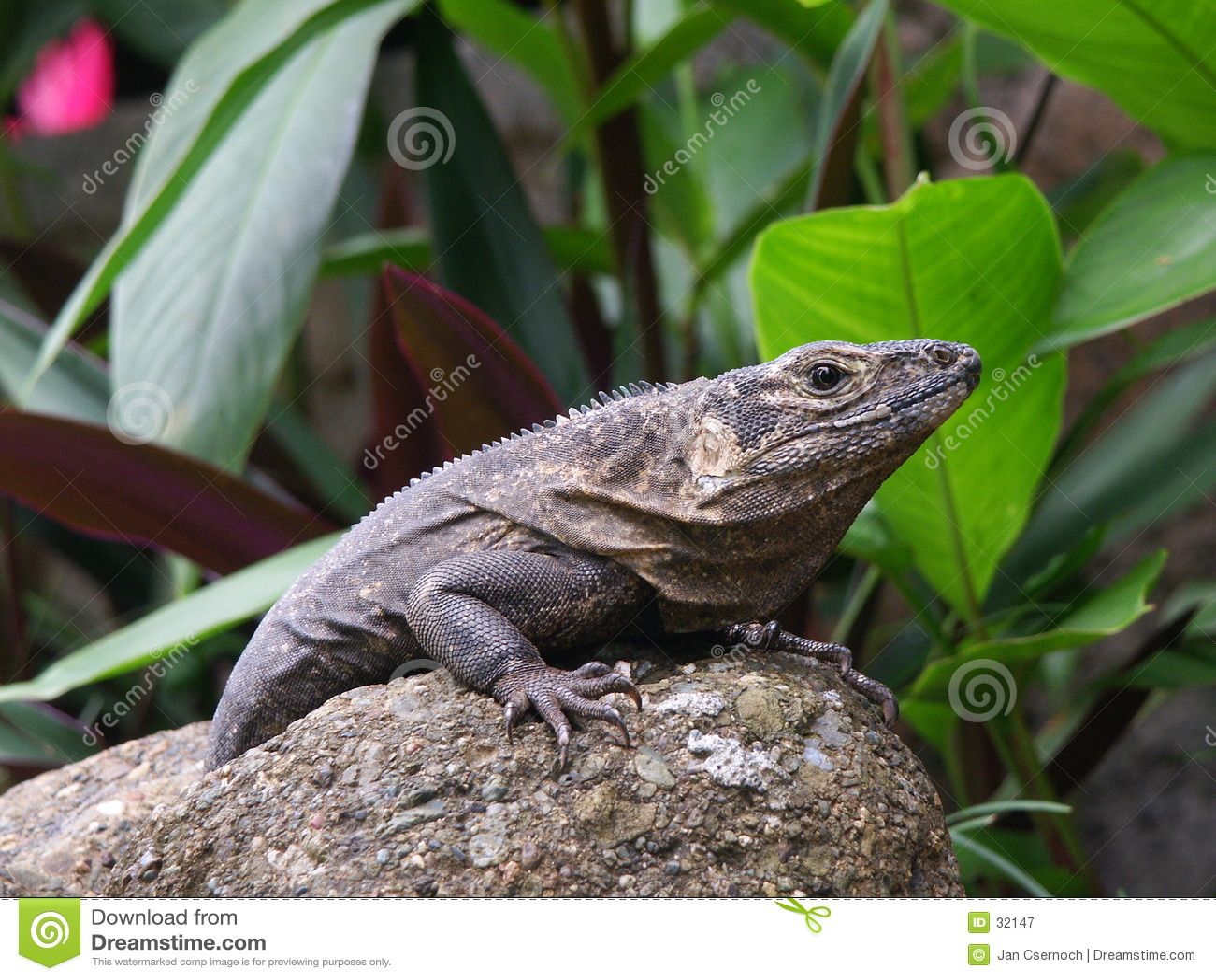 Repos noir d iguane
