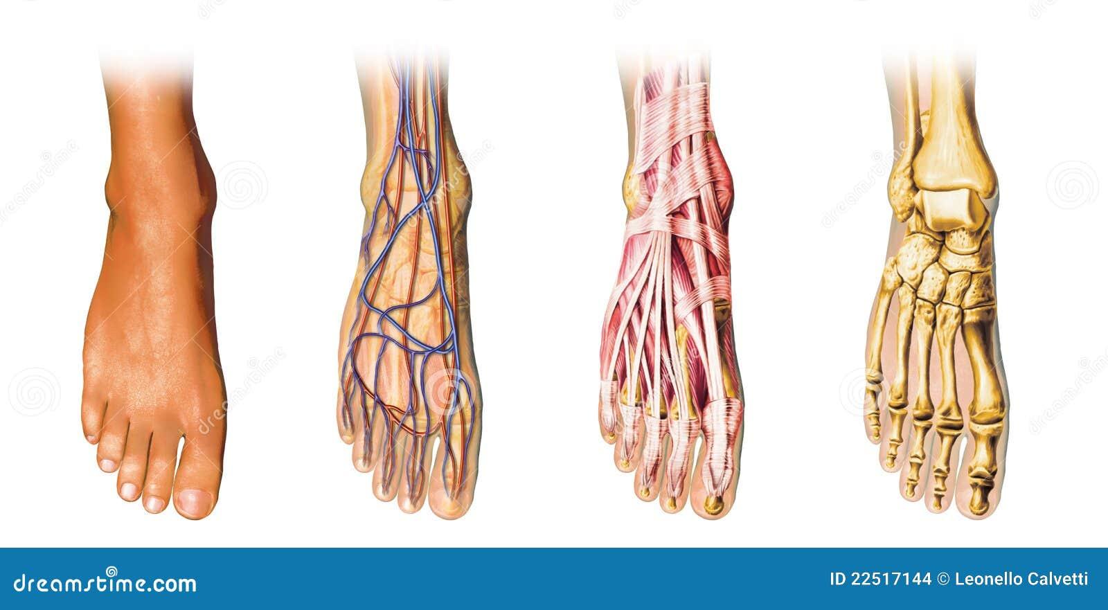 Representación Del Corte De La Anatomía Del Pie Humano. Stock de ...