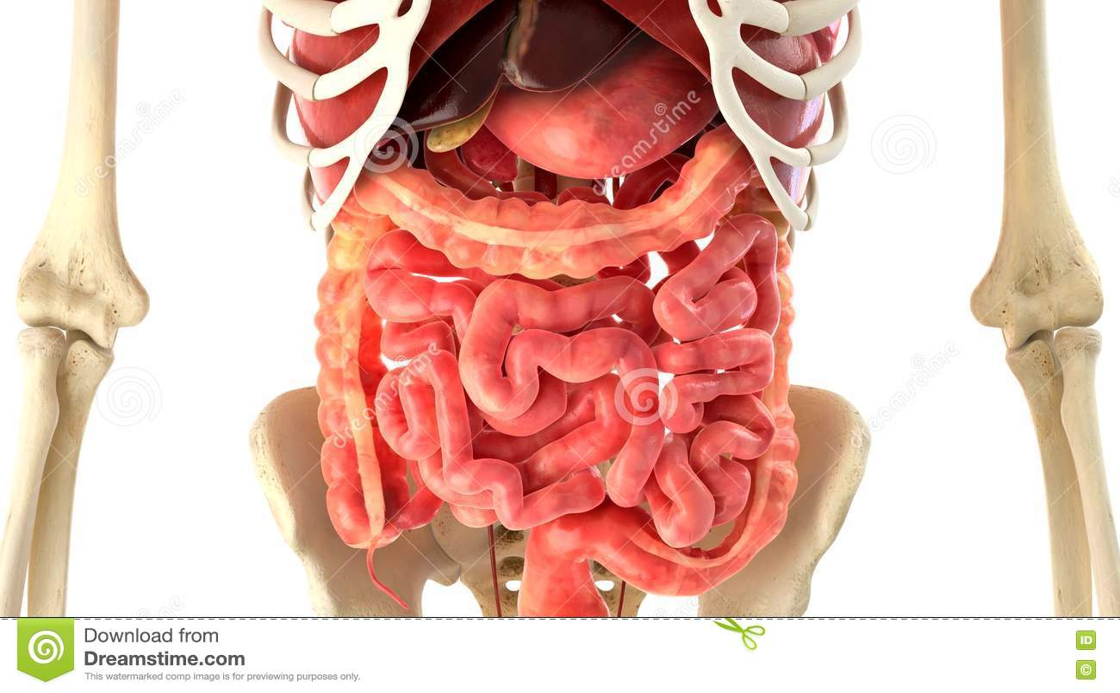 Representación Del Cuerpo Humano Y De Los órganos Internos 3d Stock ...