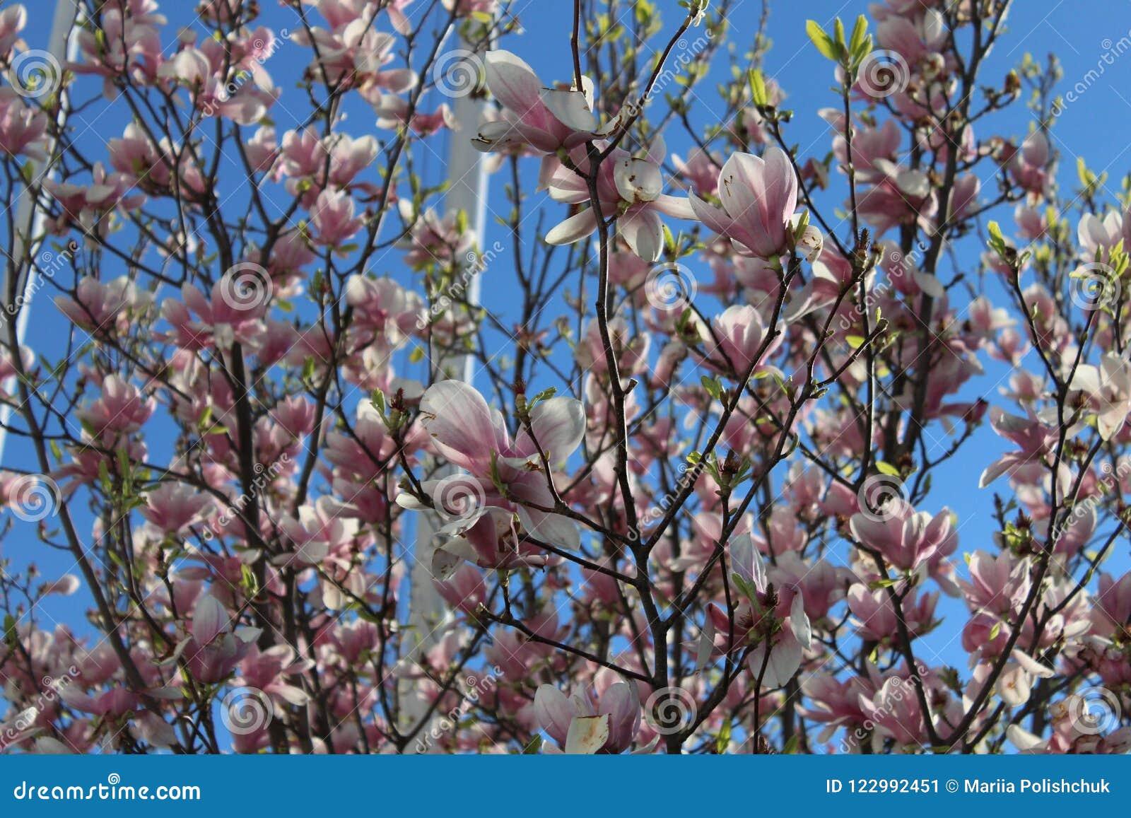 Tree With Pink Flowers Magnolia Stock Image Image Of Flamingo