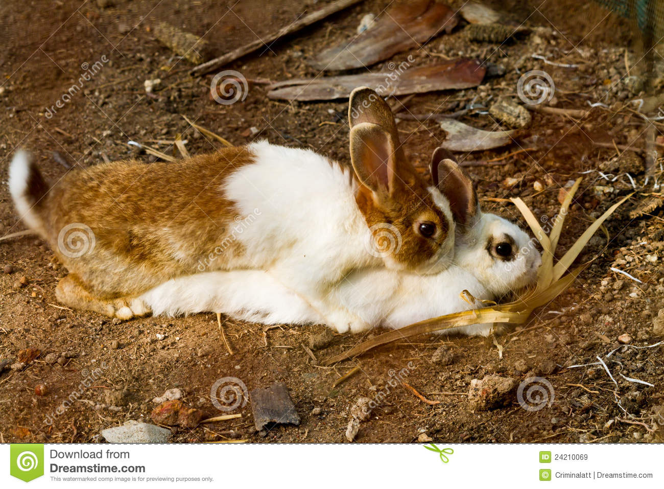 reproduction of rabbit royalty free stock images