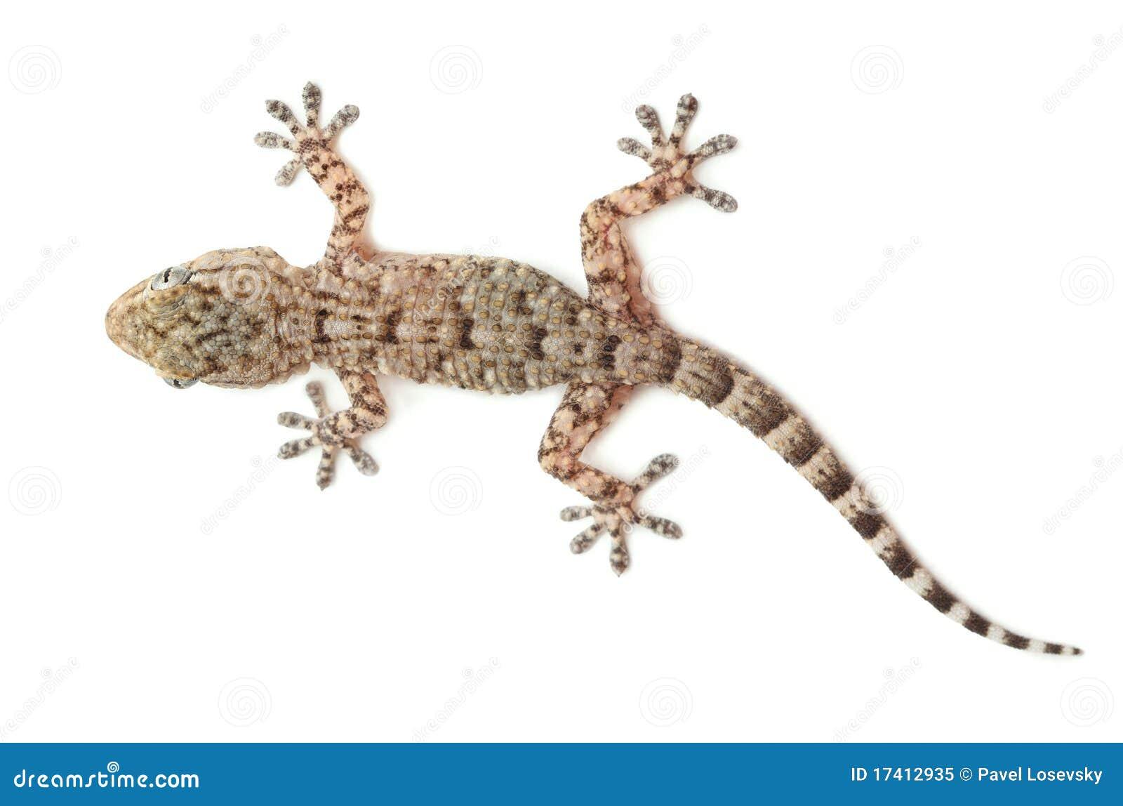 Reptile repéré de gecko d isolement sur le blanc