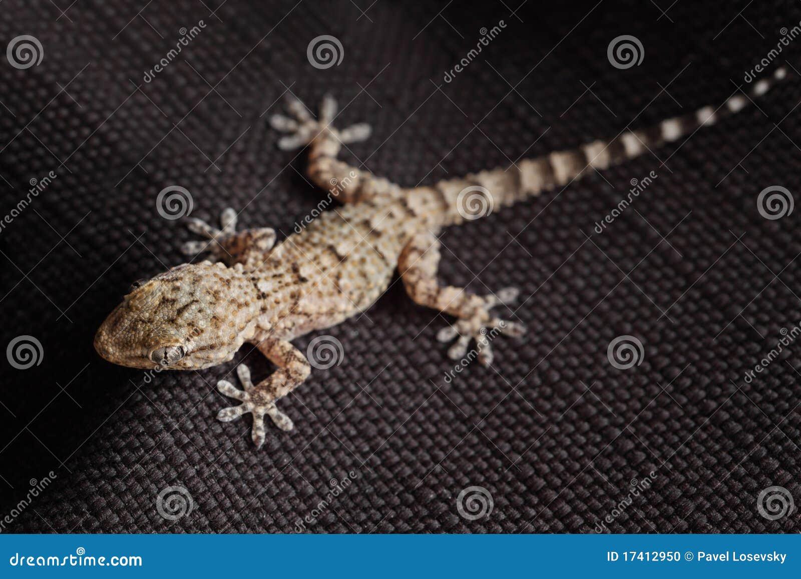 Reptile repéré de gecko sur le tissu noir
